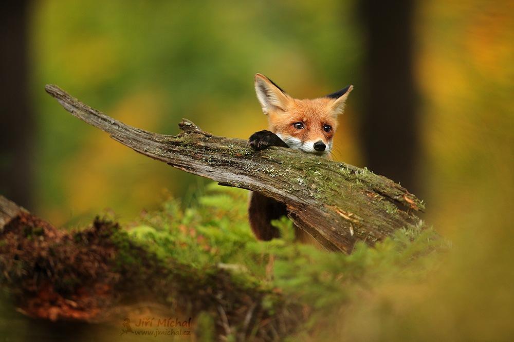 Fox by MichalJiri