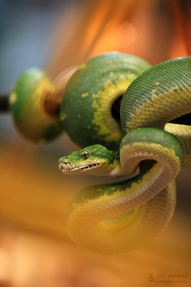 The green tree python by MichalJiri