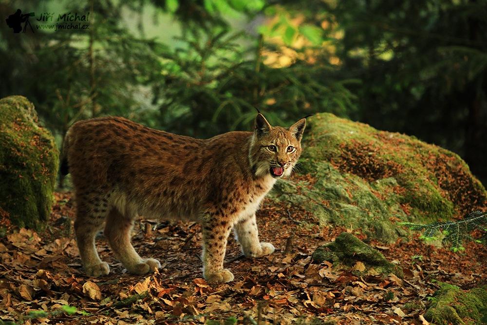 Lynx by MichalJiri