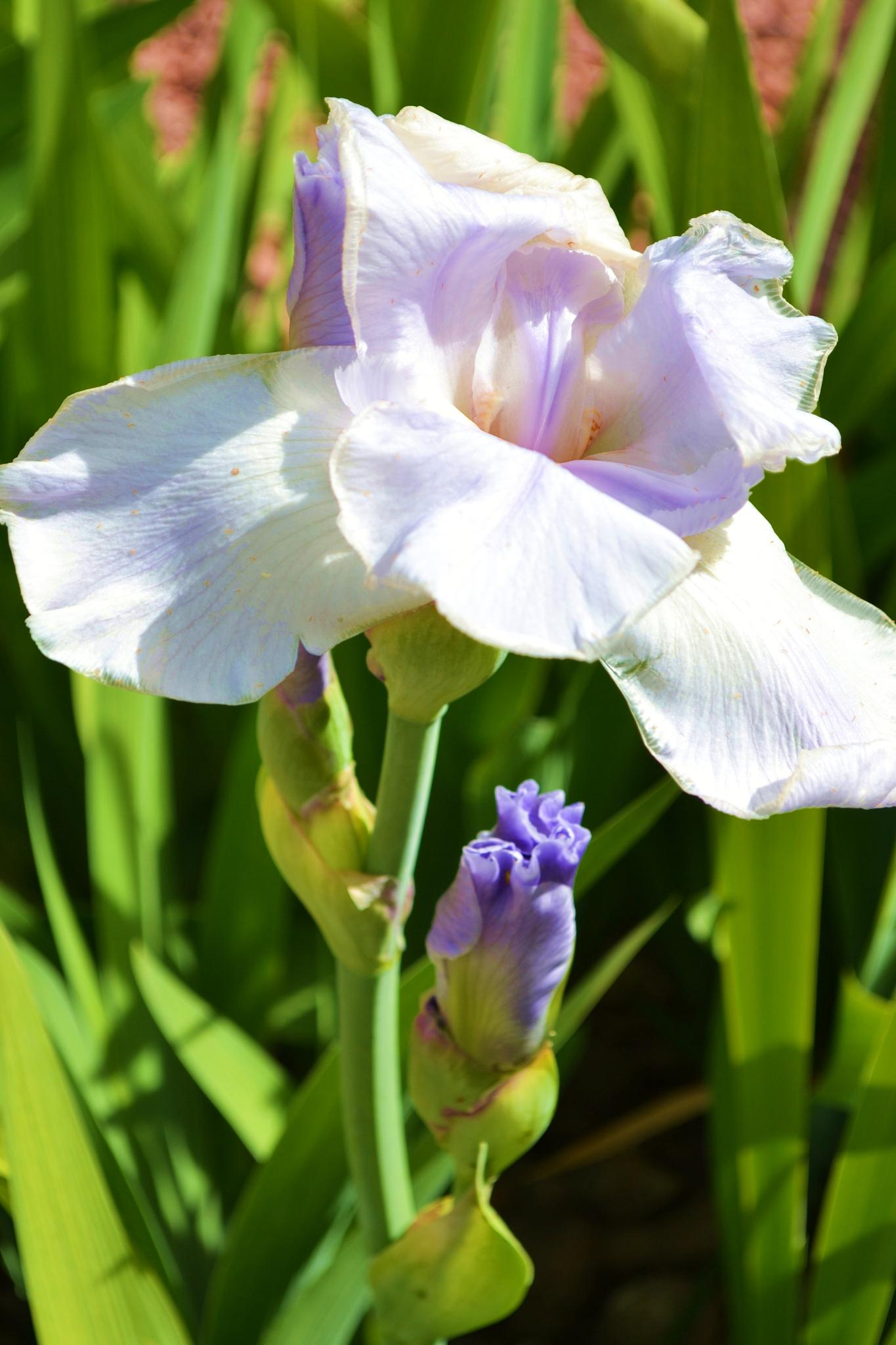 Iris by Linda Masanimptewa