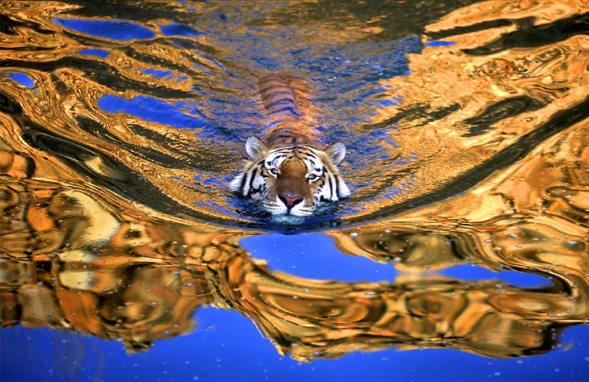 swimming tiger by GeorgeVeltchev