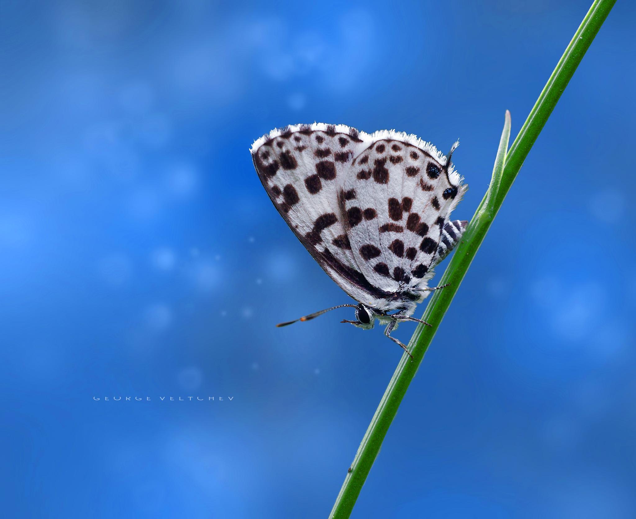 Topaz-spotted Blue by GeorgeVeltchev