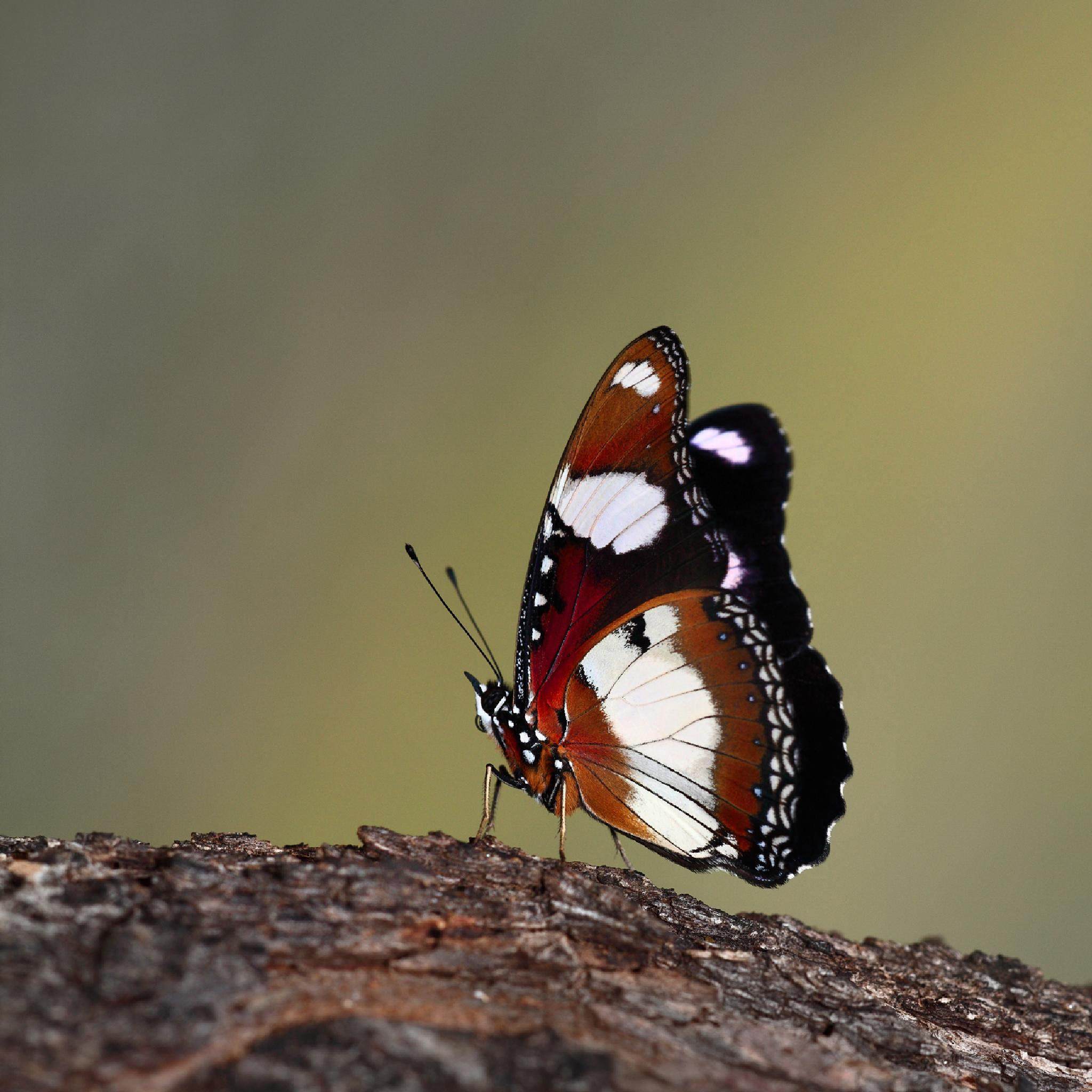 African Monarch by GeorgeVeltchev