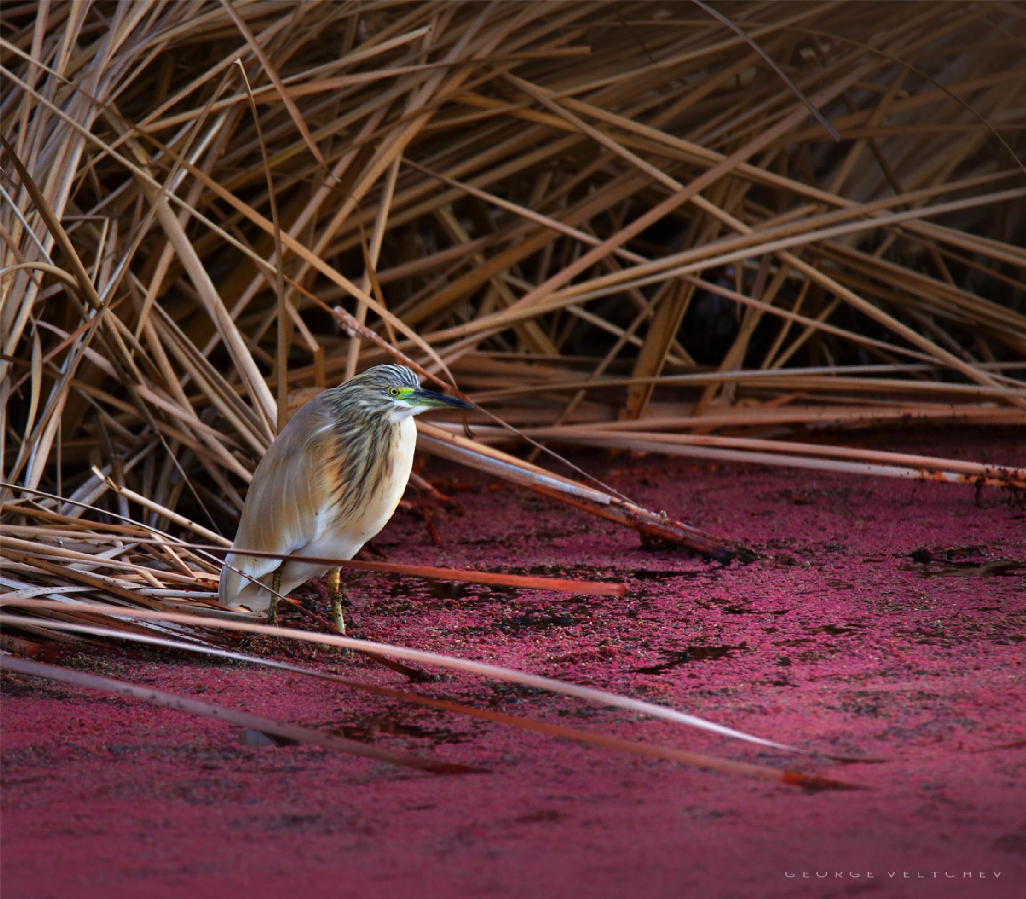 Squacco heron  by GeorgeVeltchev