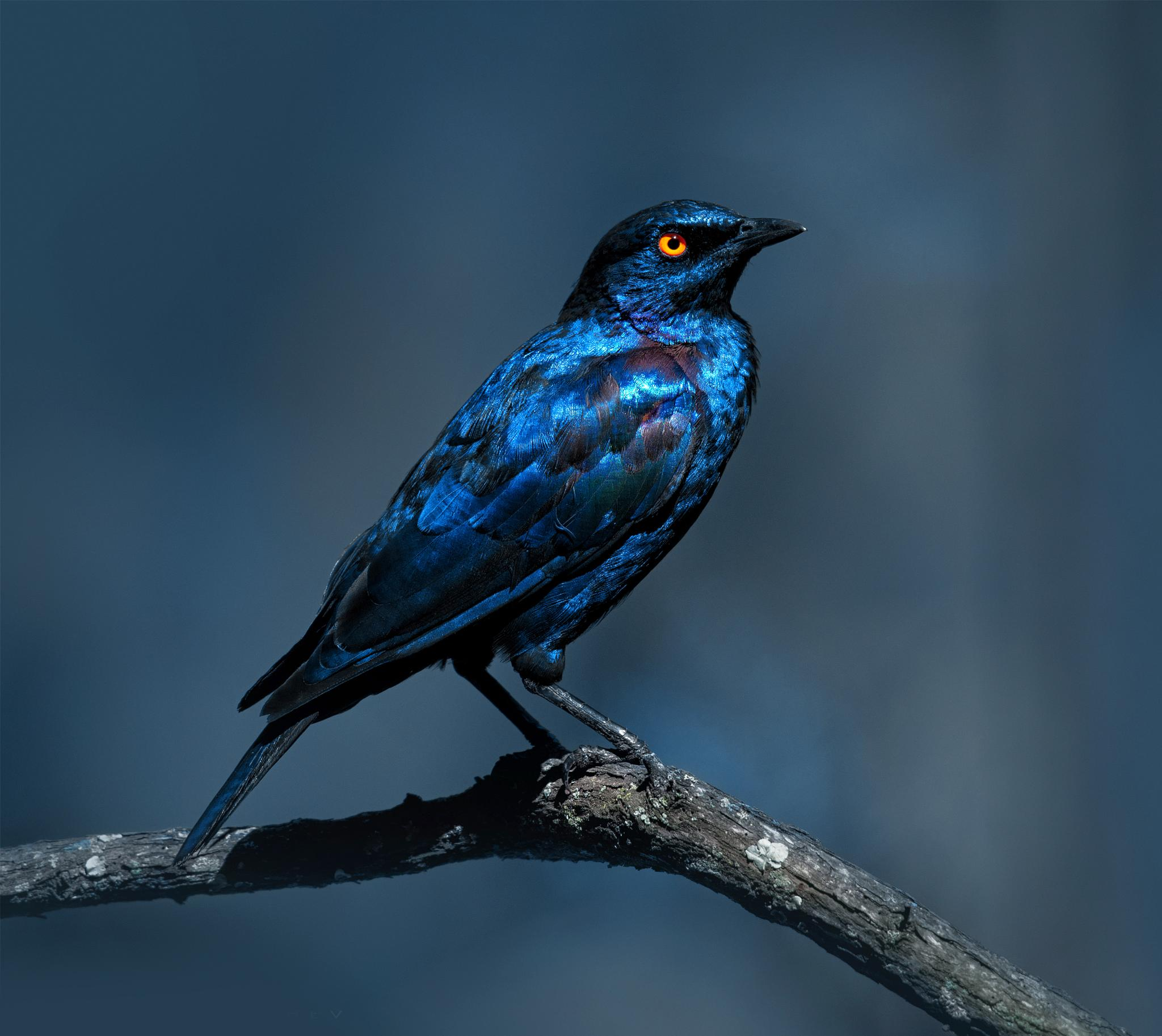 lesser blue-eared glossy-starling by GeorgeVeltchev