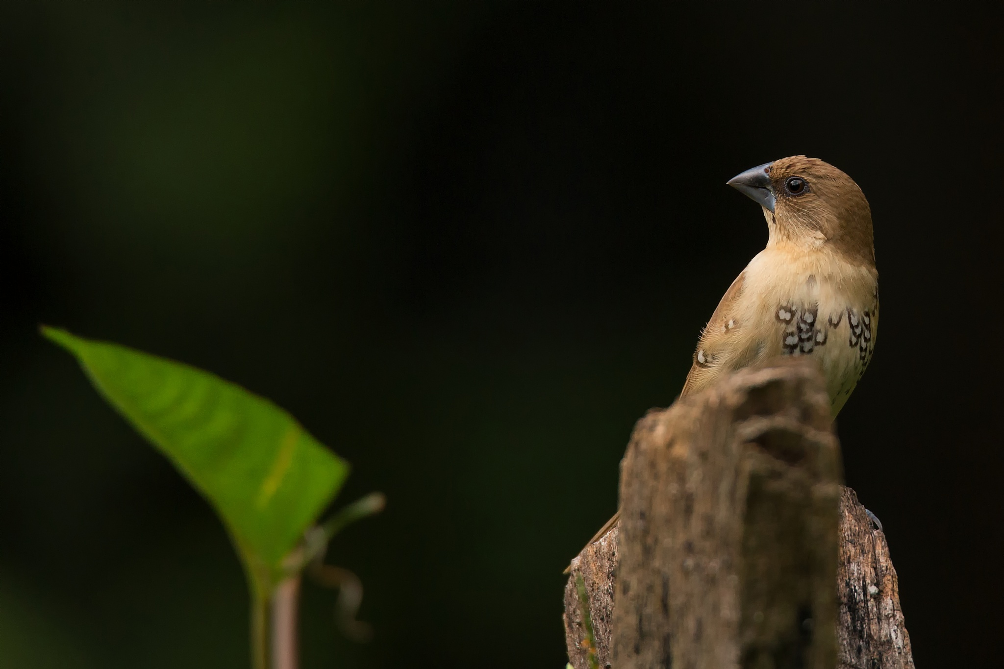 Scaly - Breasted Munia (sub adult) by lone.aww