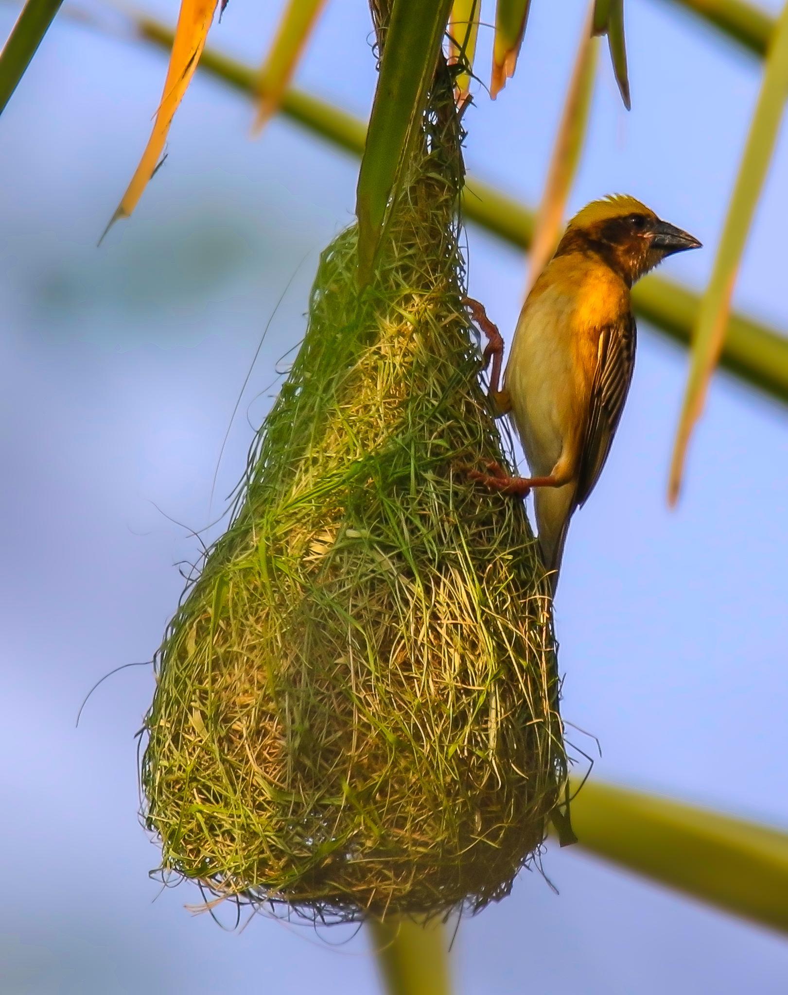 Baya Weaver (Male) (Sci - Ploceus Philippinus) @ Myanmar (Burma) by lone.aww