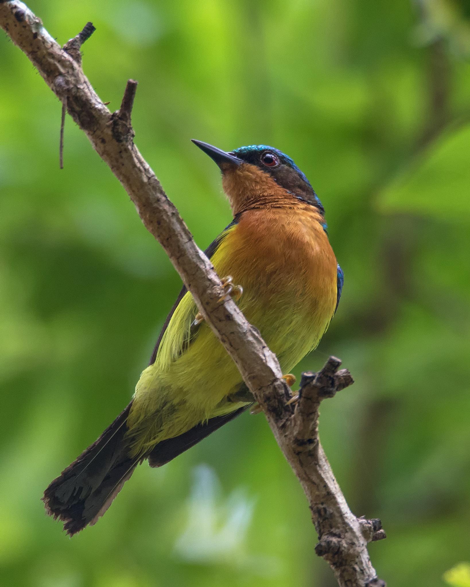 Ruby - Cheeked Sunbird (male) (Sci - Chalcoparia Singalensis) @ Myanmar (Burma) by lone.aww