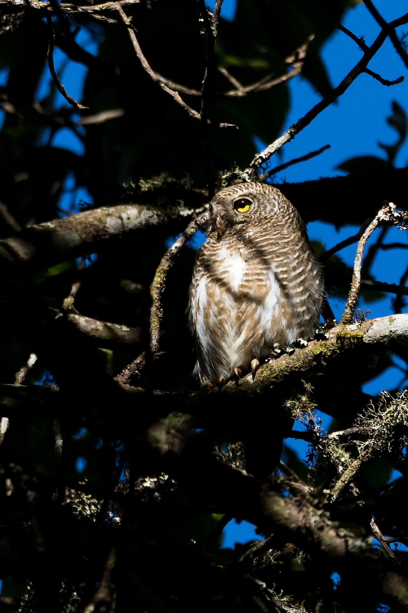 Asian Barred Owlet by lone.aww