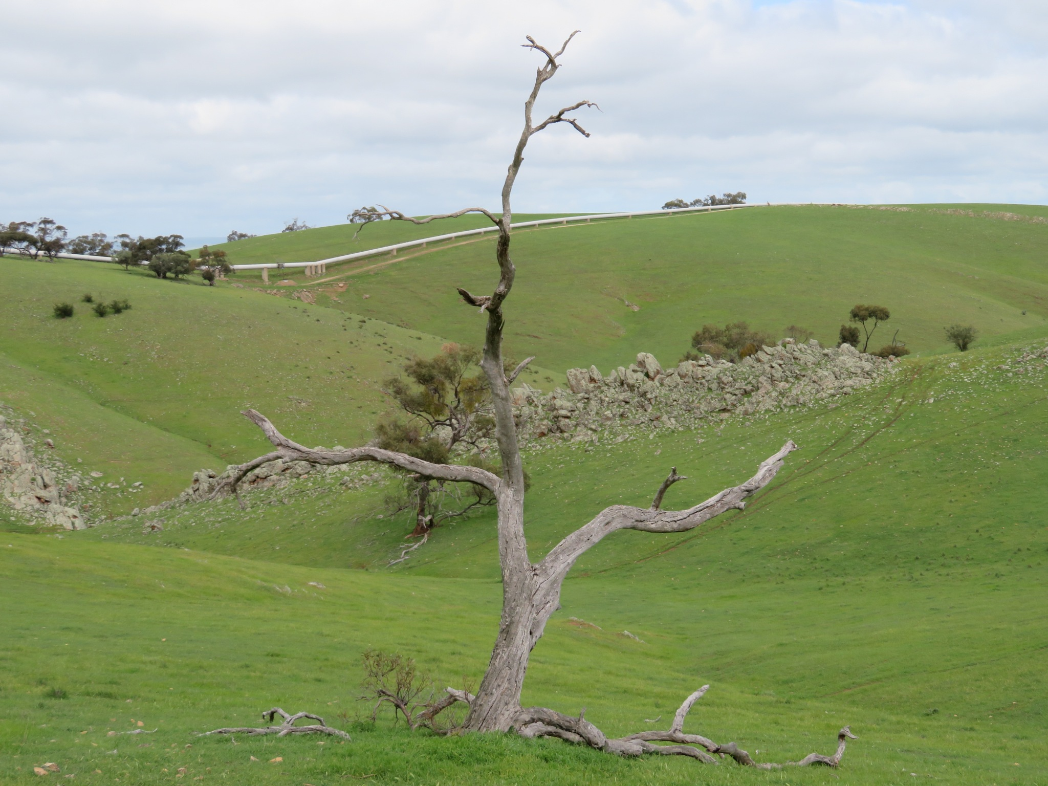 An old Gum Tree and an old stone wall by LucyFaye