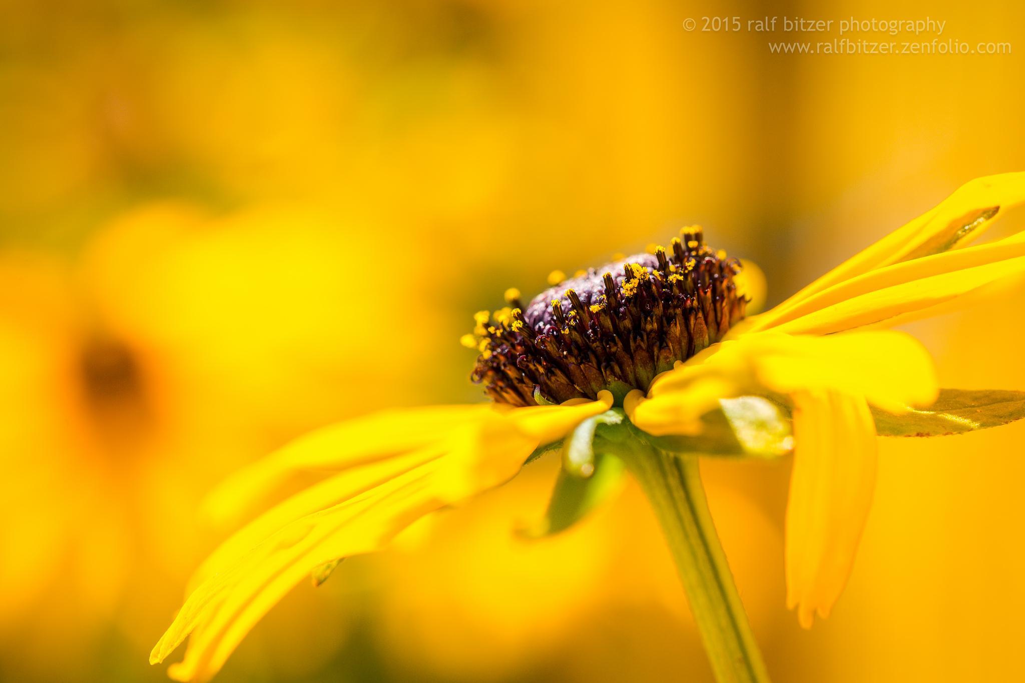 Yellow by Ralf Bitzer