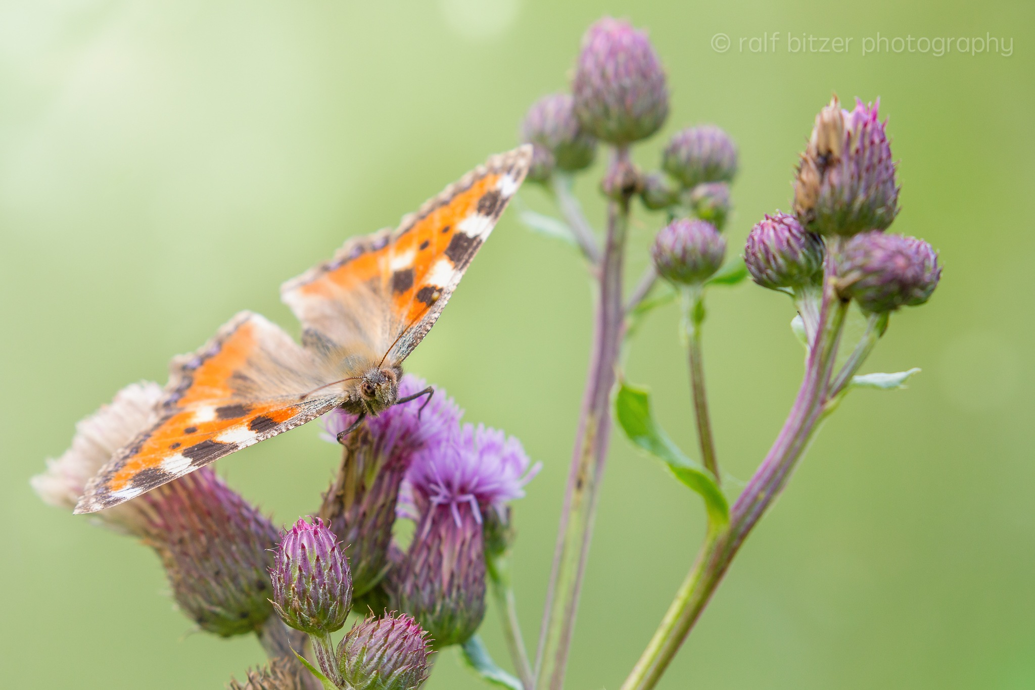 Butterfly by Ralf Bitzer