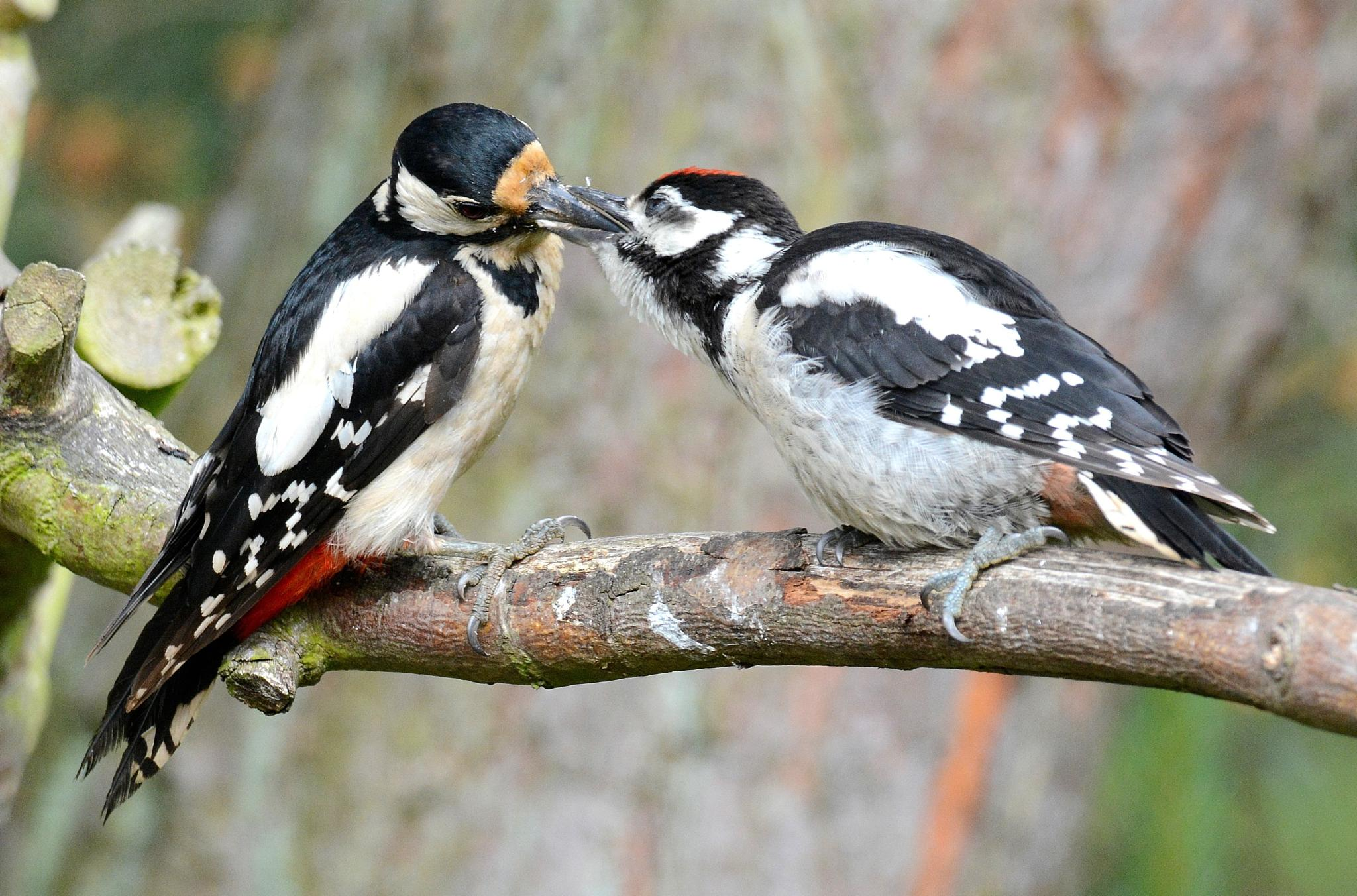 Woodpeckers - lunch by Ib Krogh Johansen