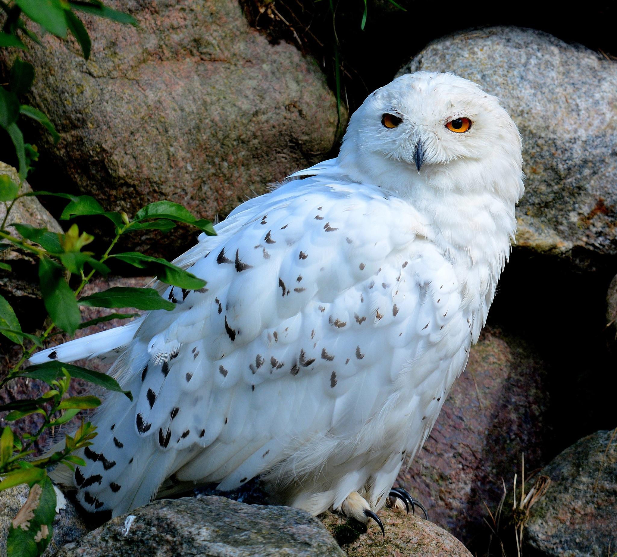 Snowy owl.... by Ib Krogh Johansen