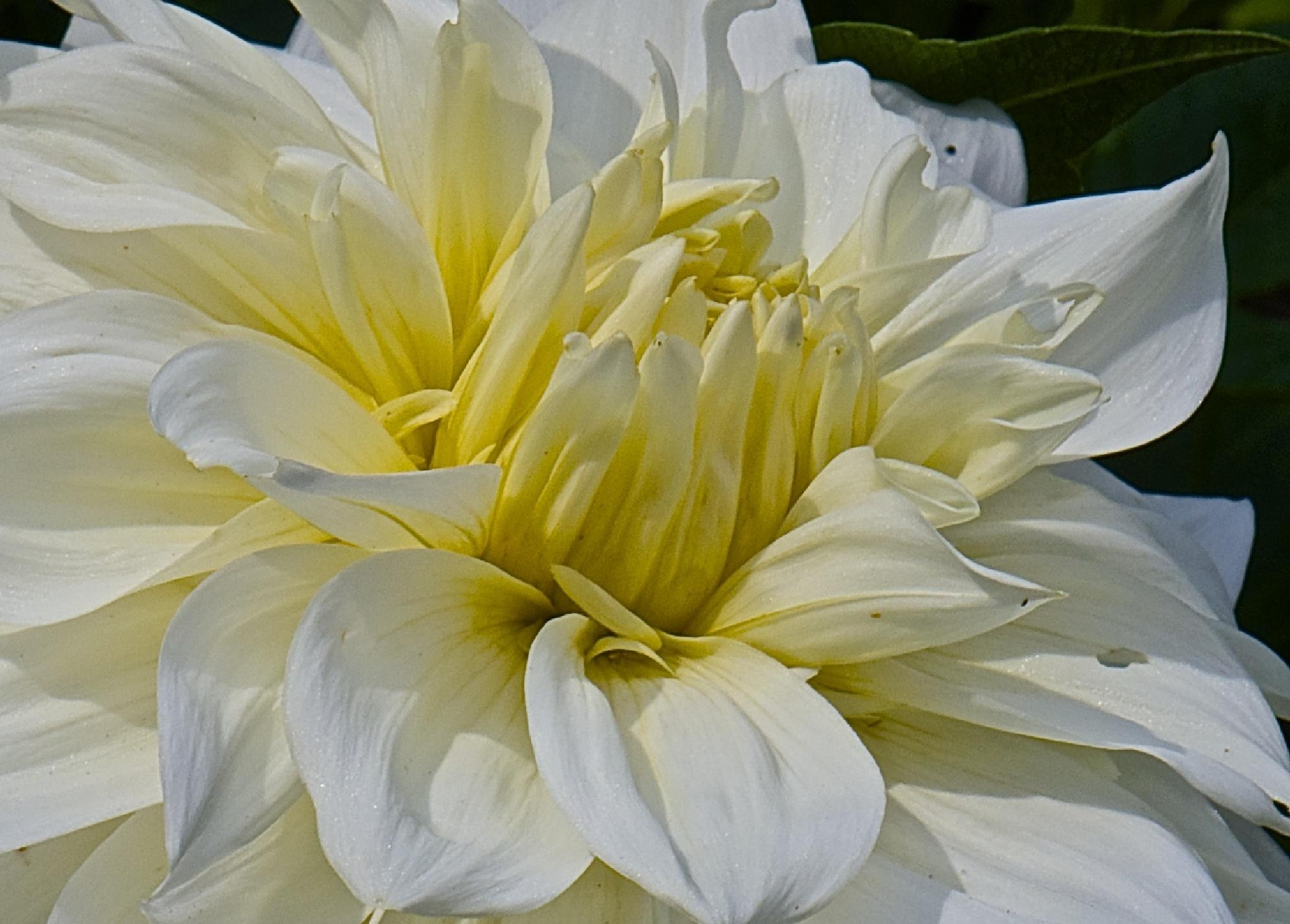 Flowering.... by Ib Krogh Johansen