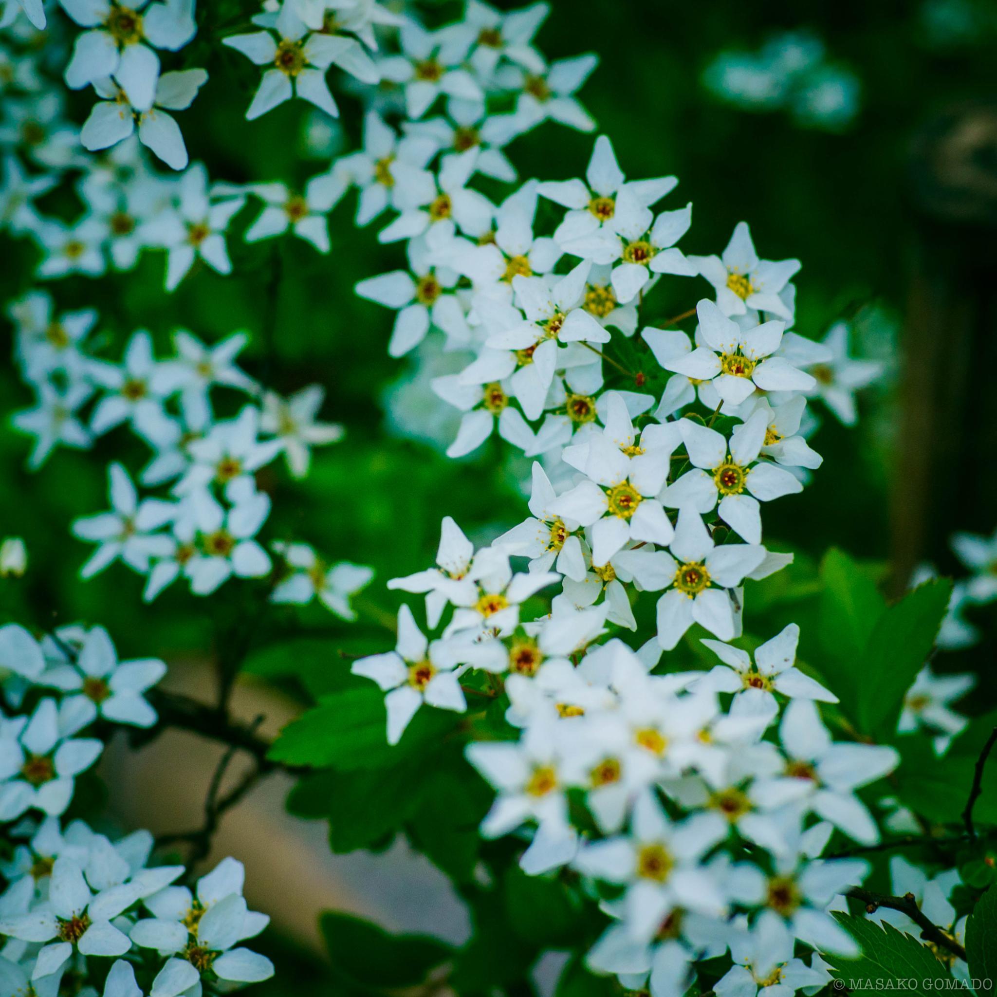flower by Masako Gomado