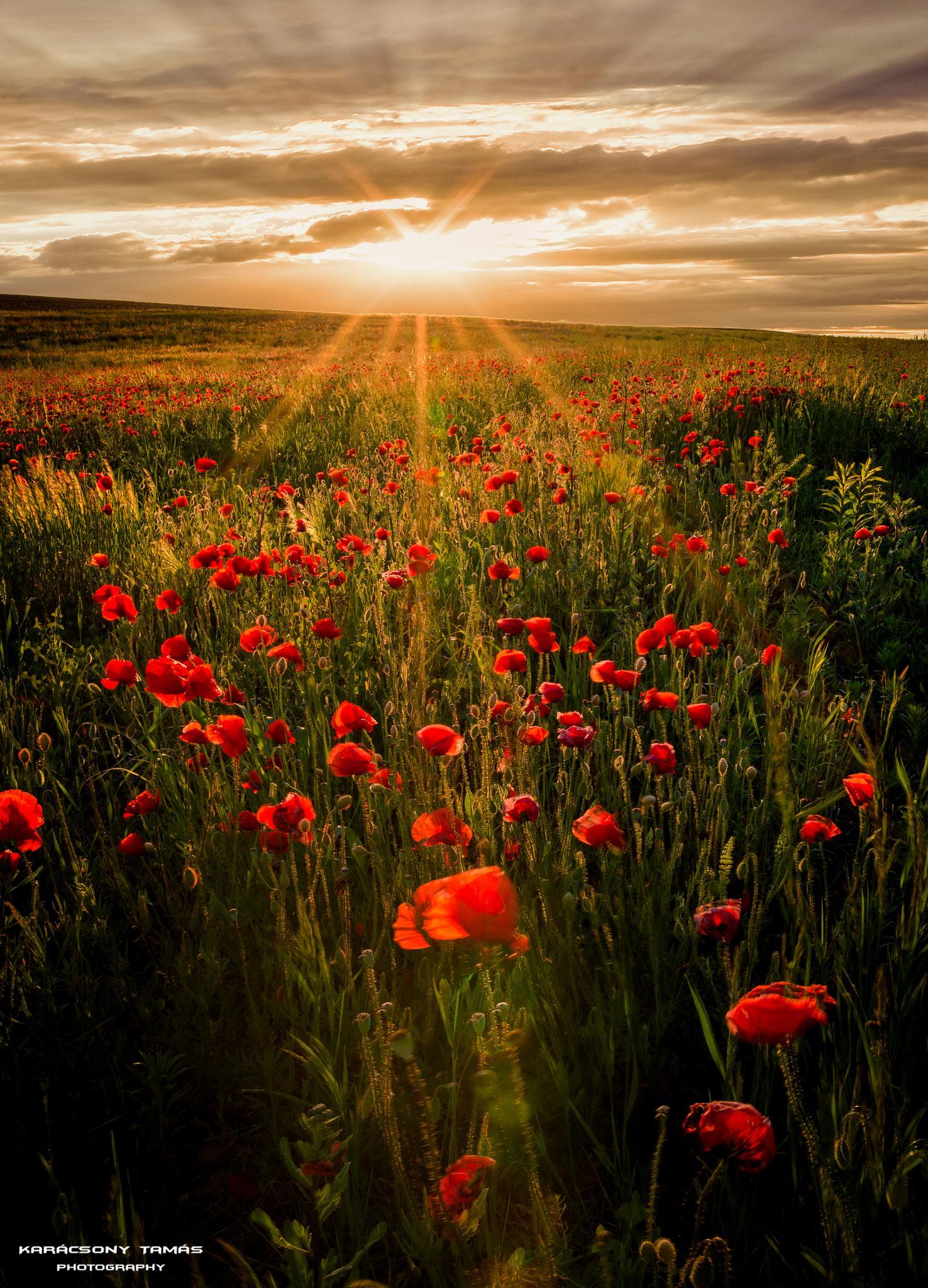 Red poppy by TamasKaracsony