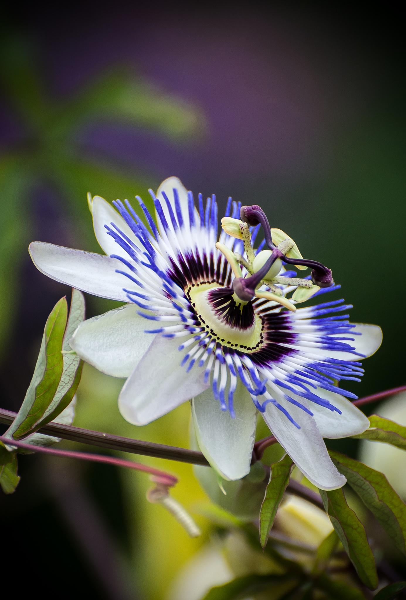 Blue passion flower / Passiflora caerulea by stoplamek