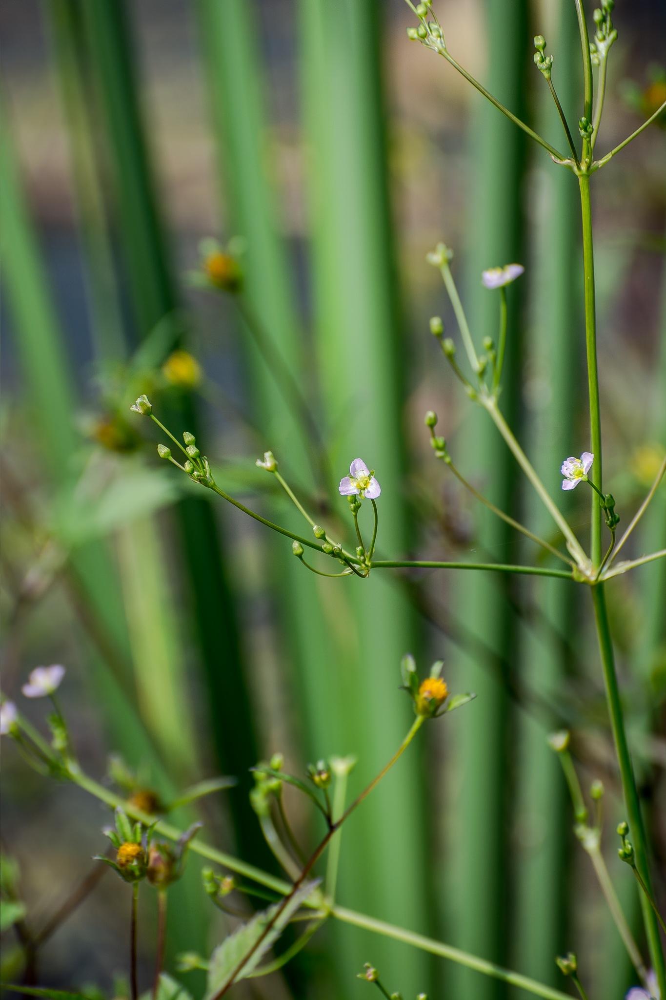 European water-plantain / Alisma plantago-aquatica by stoplamek
