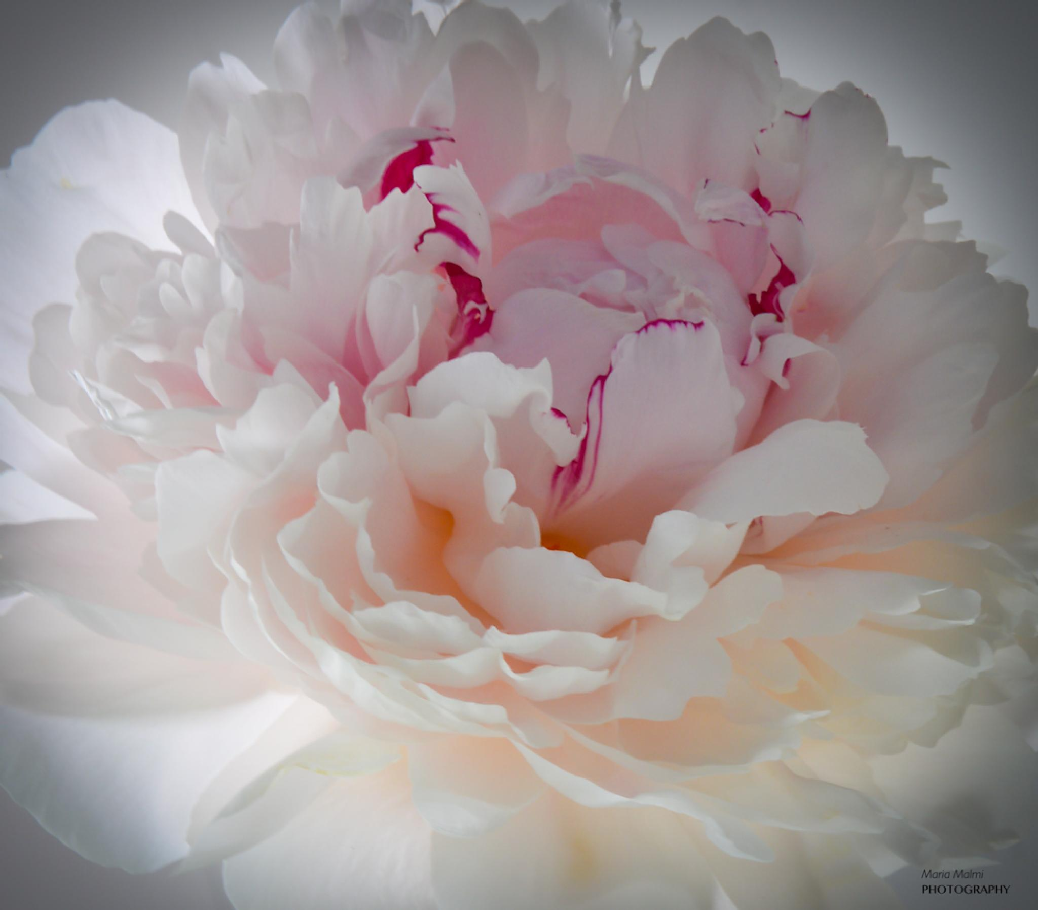 Peony on white by Maria Malmi