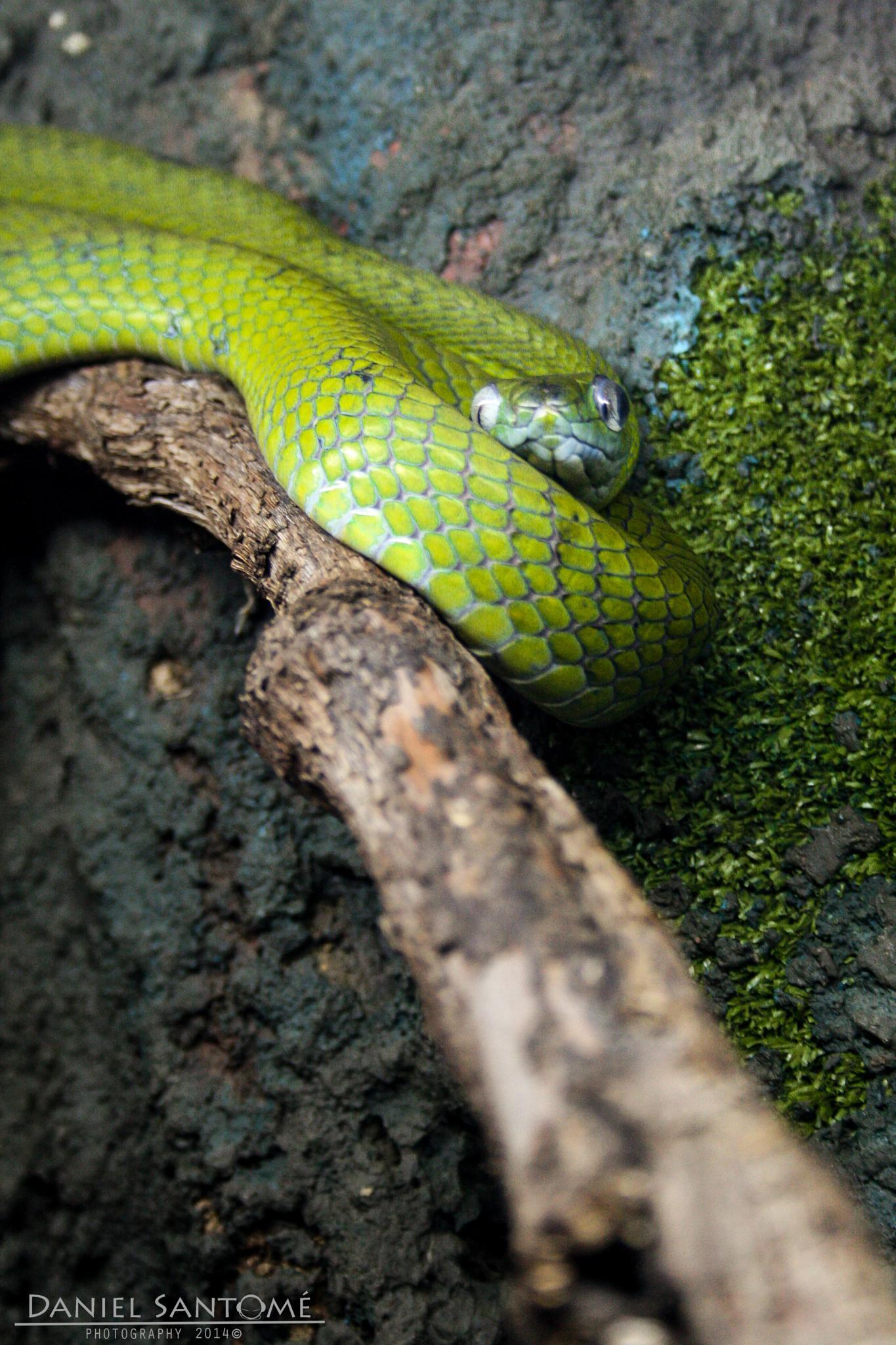 Green Snake by Daniel Santomé Gallego