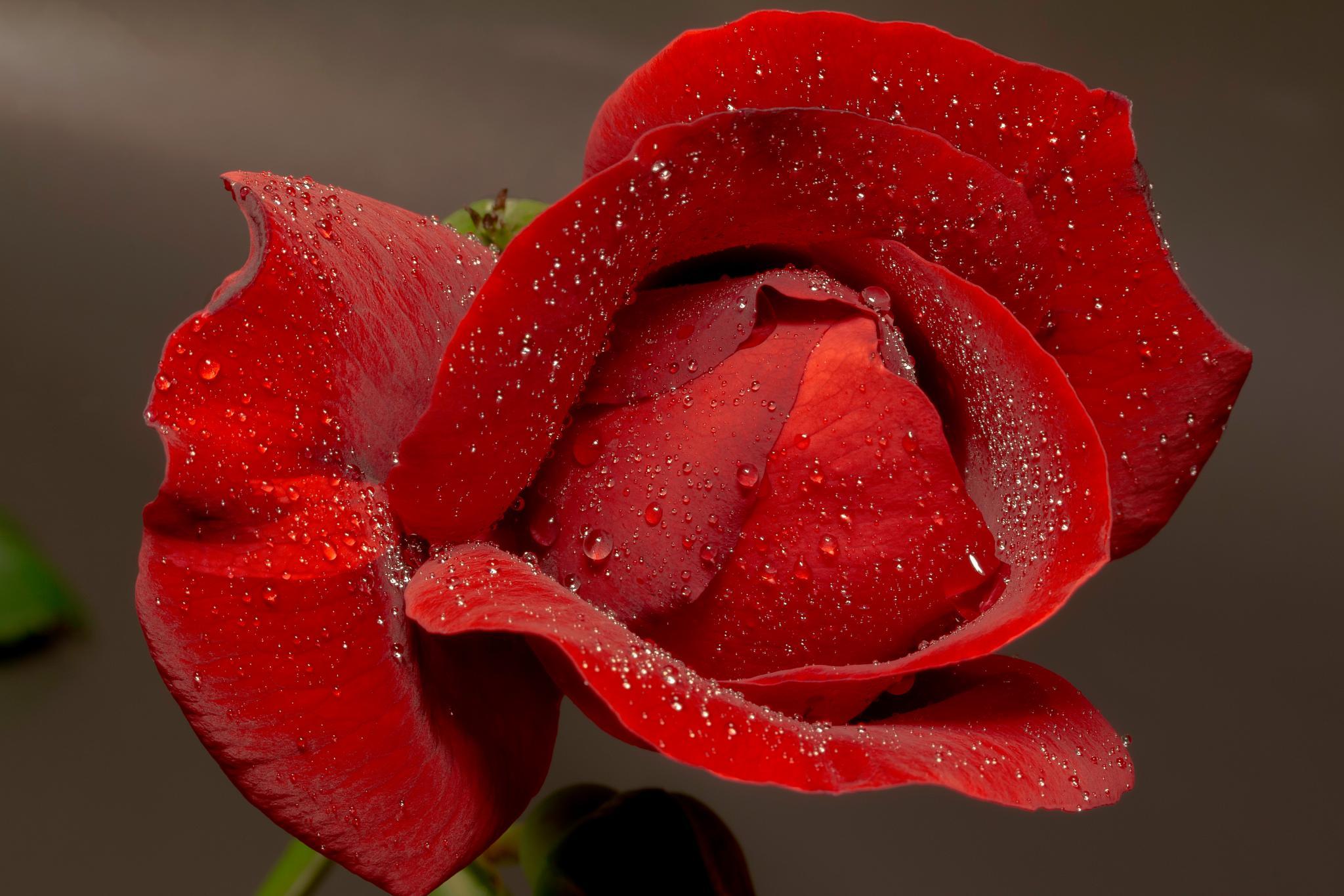 Rose by evelakes