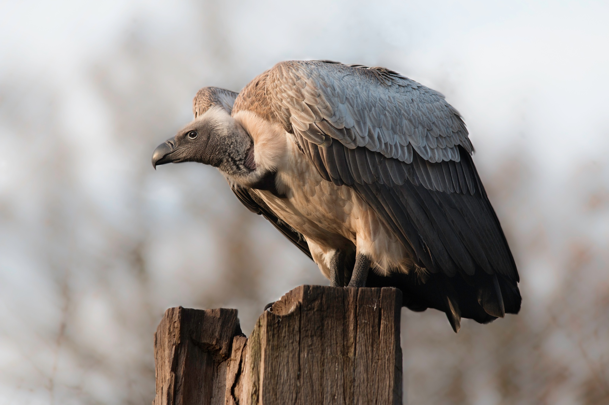 vulture on the lookout by evelakes