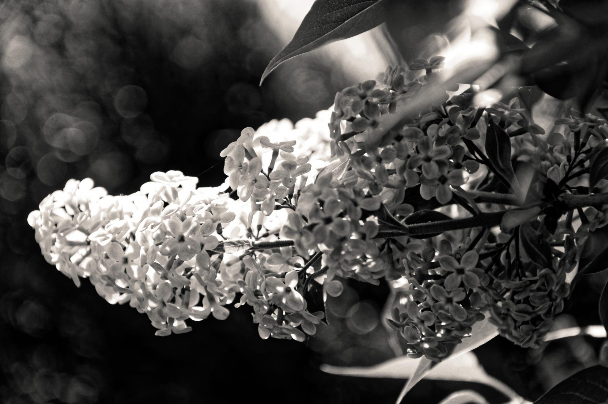B&W Blossom by Nik Phot