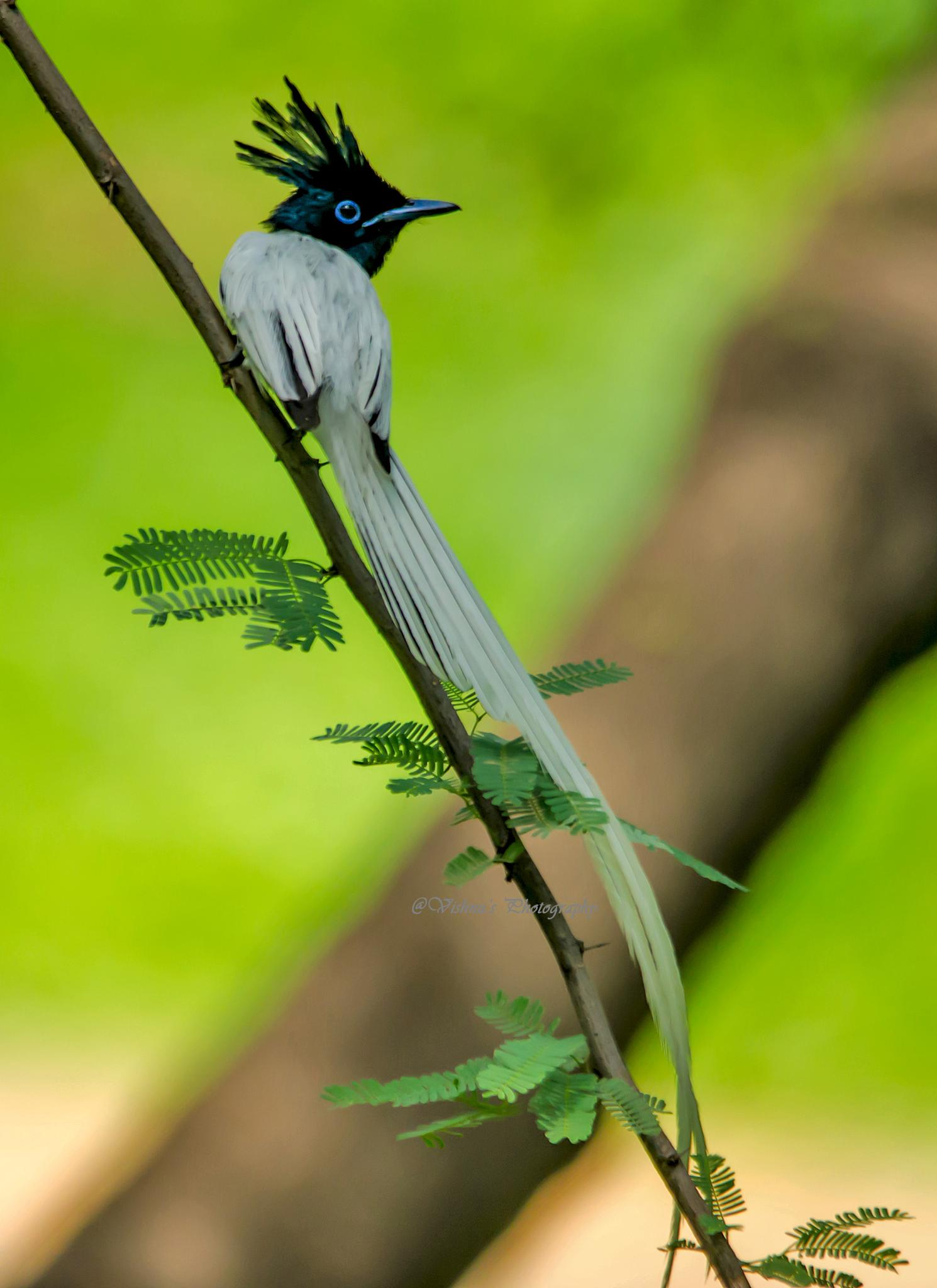Asian Paradise Flycatcher by VishnuKumarSharma