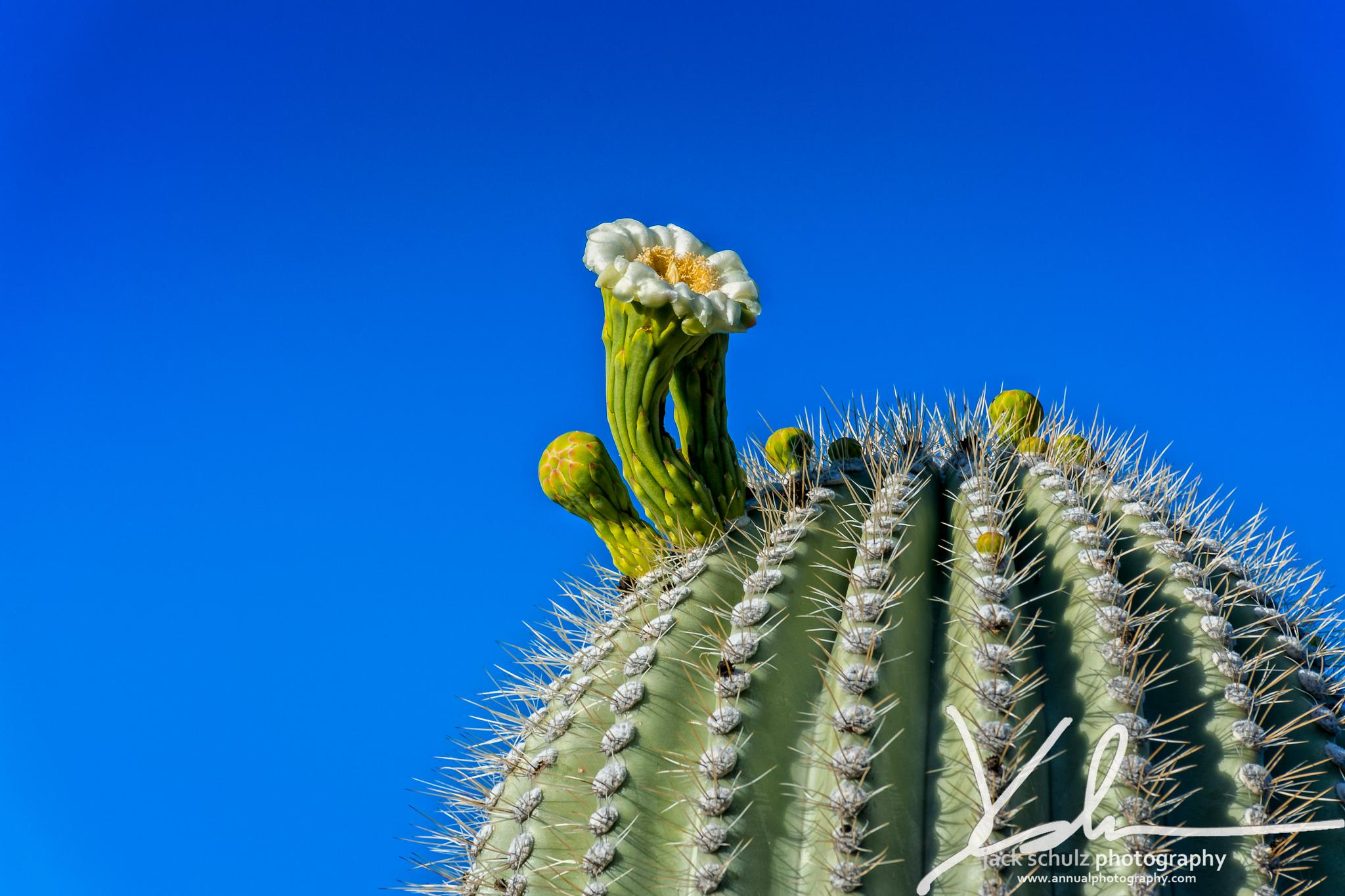 Cactus Bloom by jschulzphotography