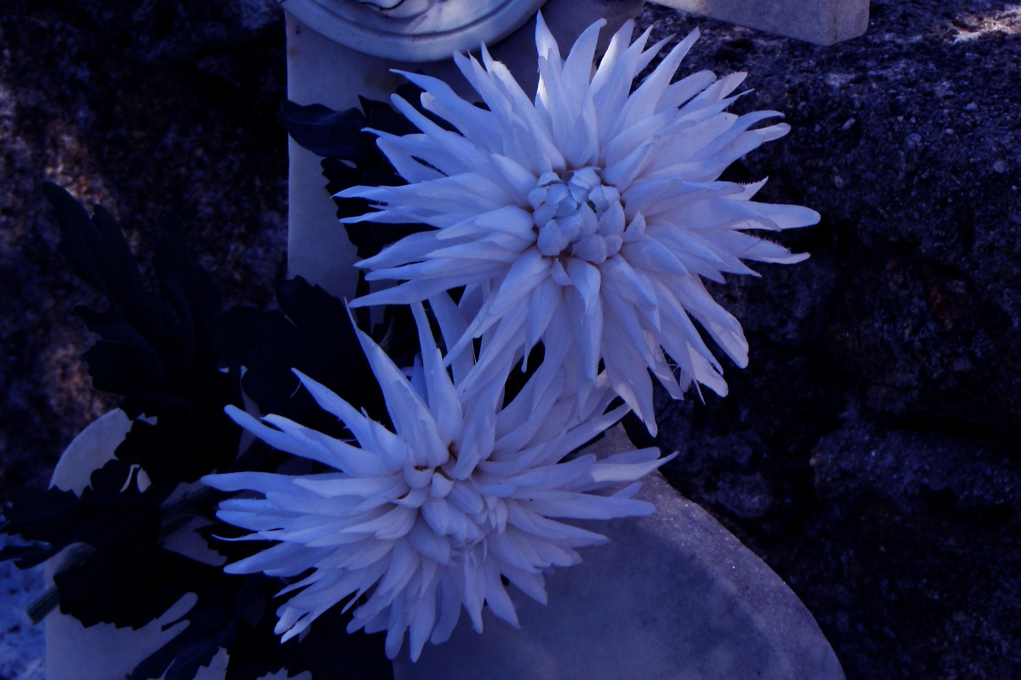 White flowers by Isabel Gonzalez Martil