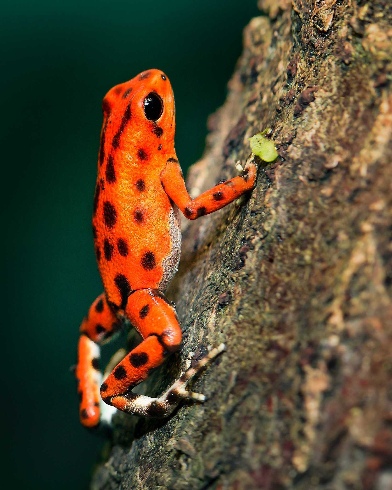 Orange Strawberry frog by Thierry Fillieul