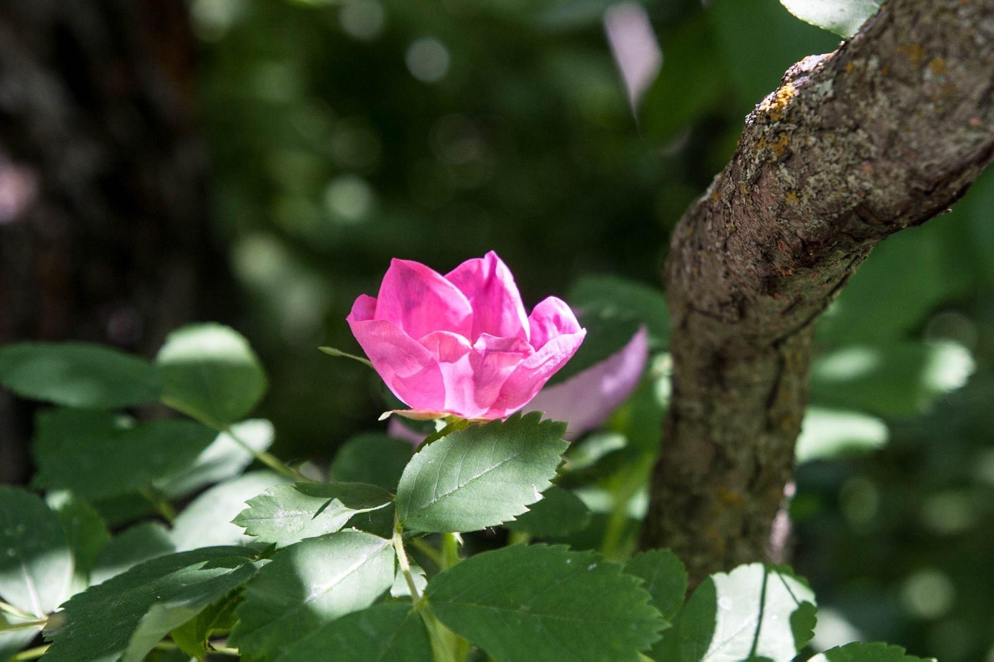 Wild Rose by Paul J Lacroix