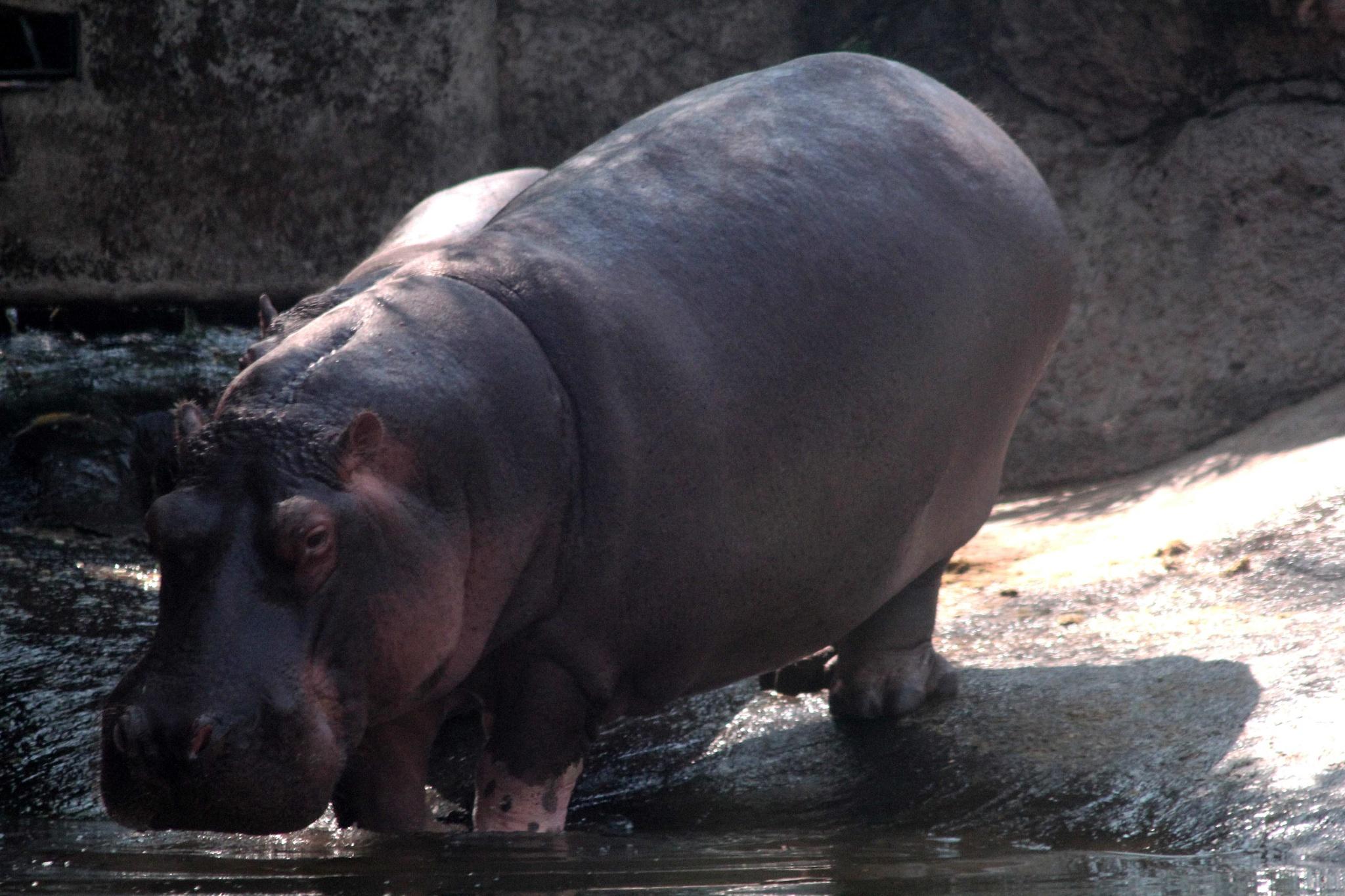 Hippopotamus by Dedi Ogie S
