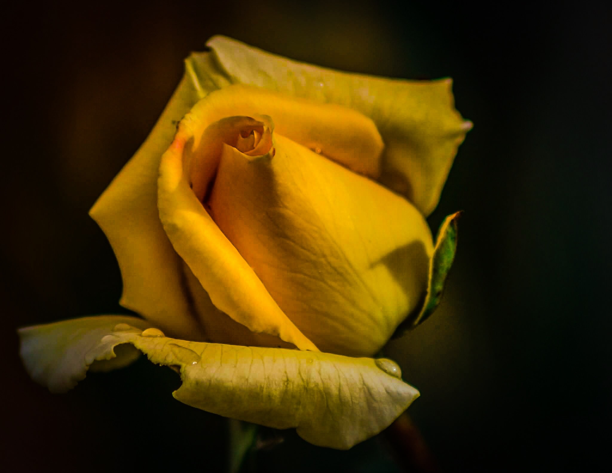 Yellow Rose by A.Louadfel
