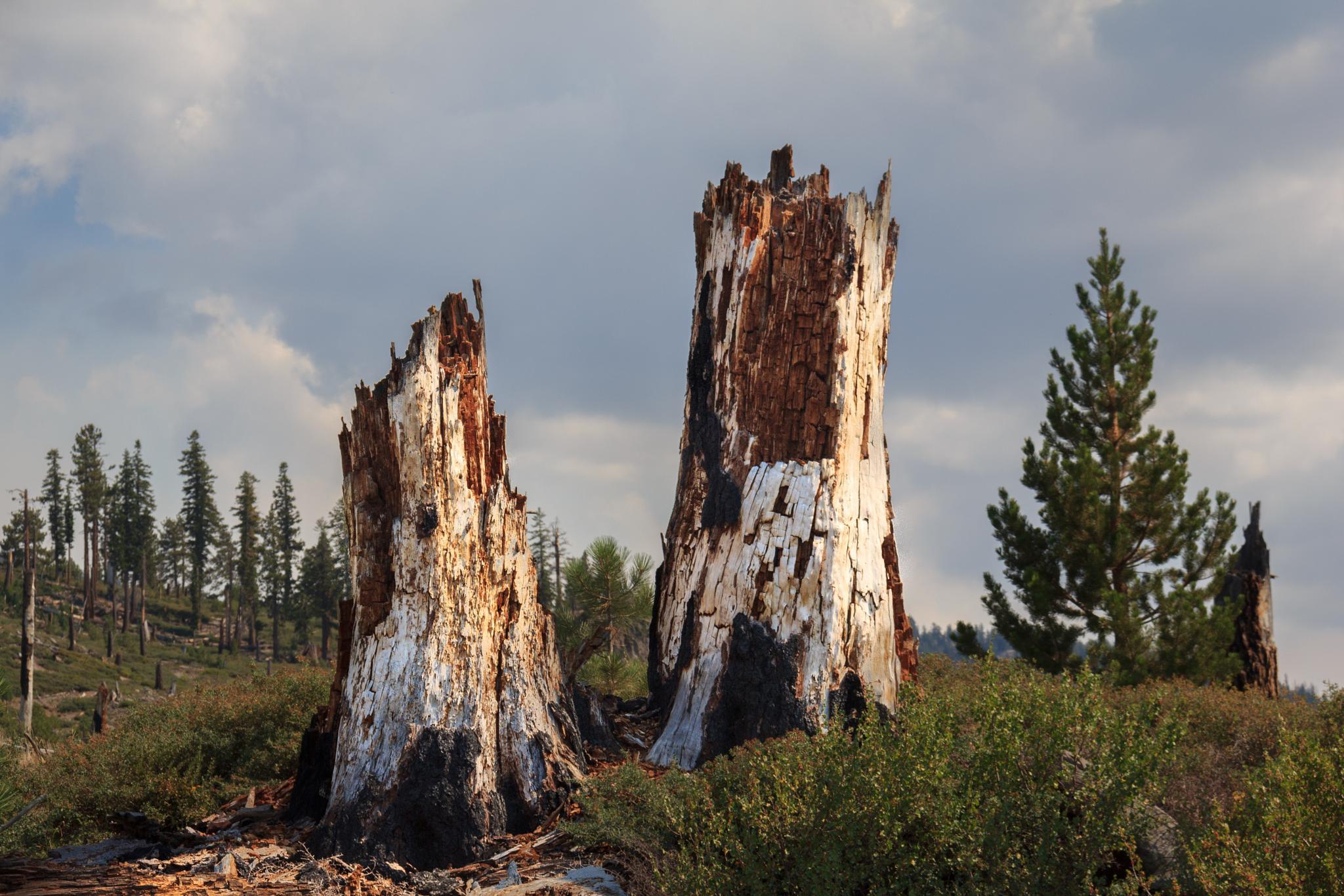 Dead trees by Liliana