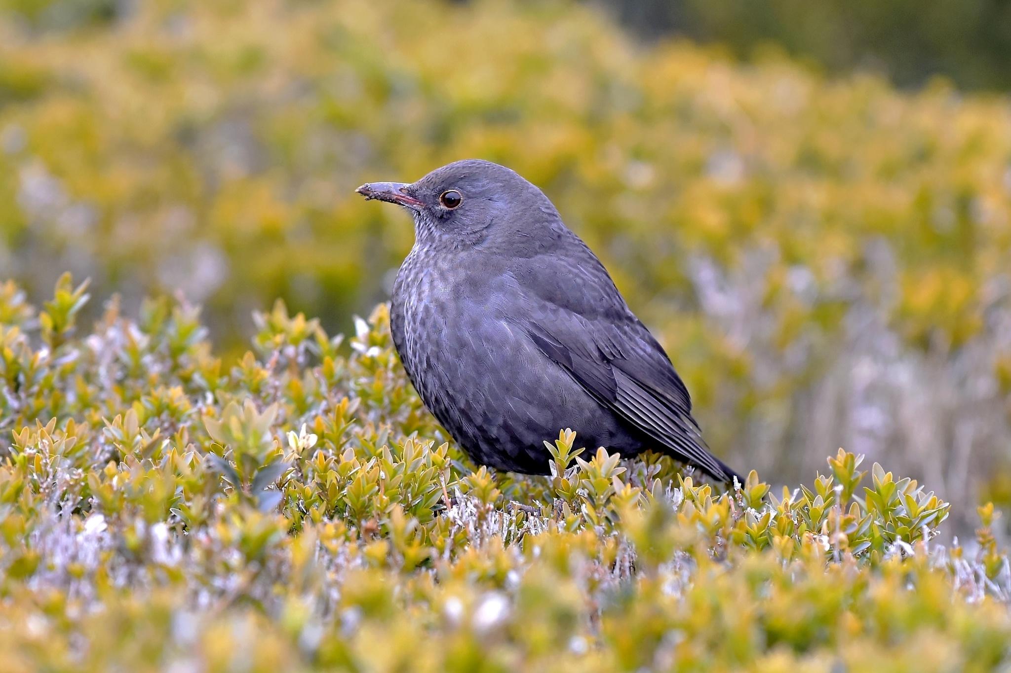 Blackbird by Dre_Von_D