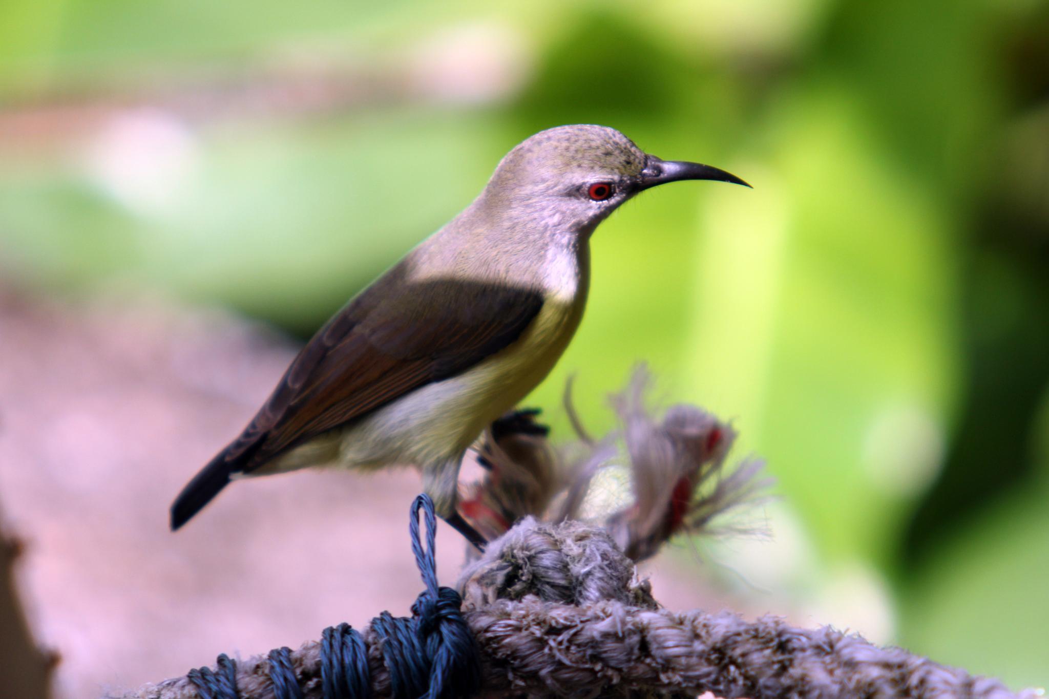 Common Tailorbird by sujesh