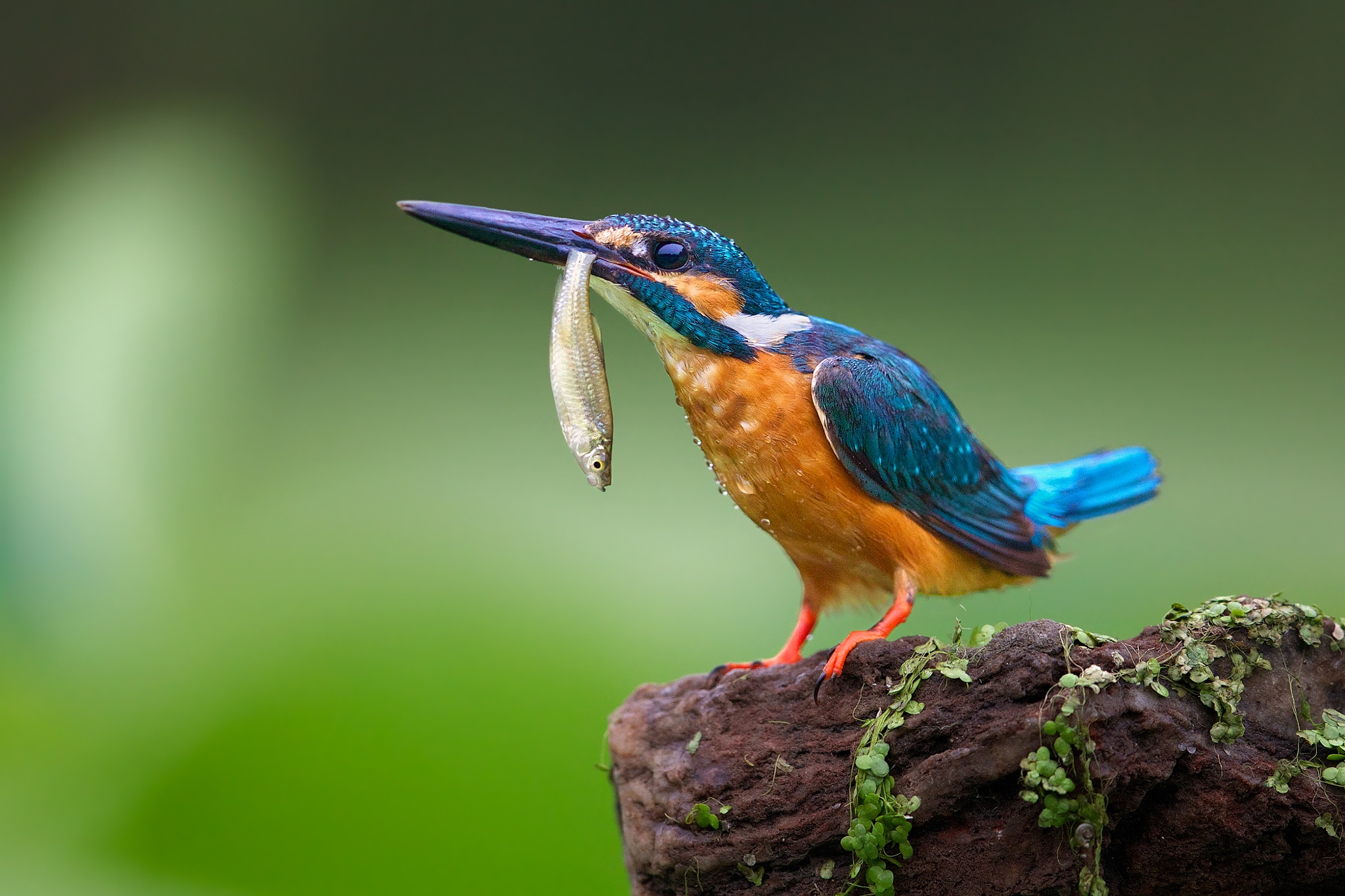 Kingfisher by Kant