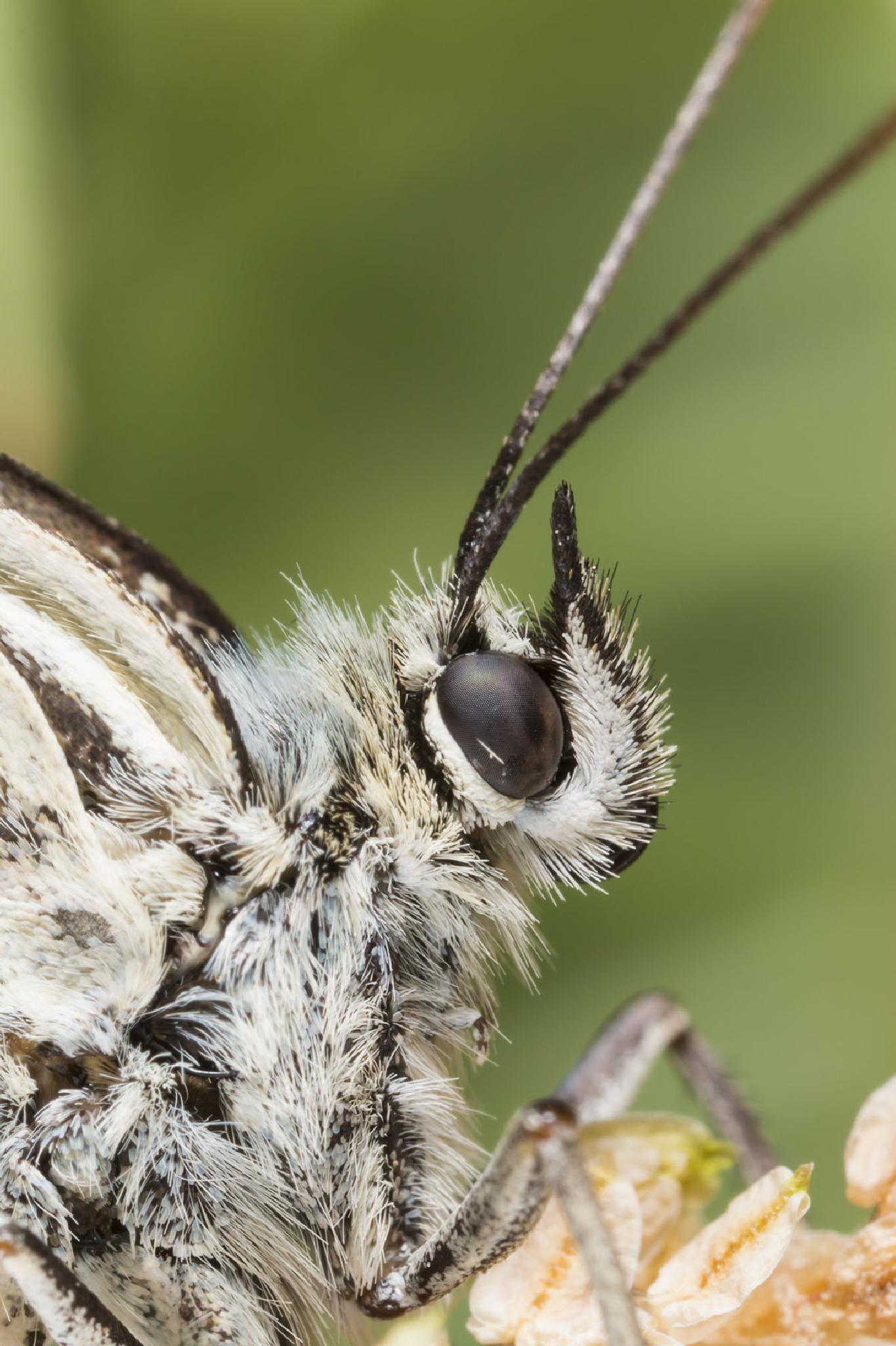 0638_mountain butterfly by StefanoTartarotti