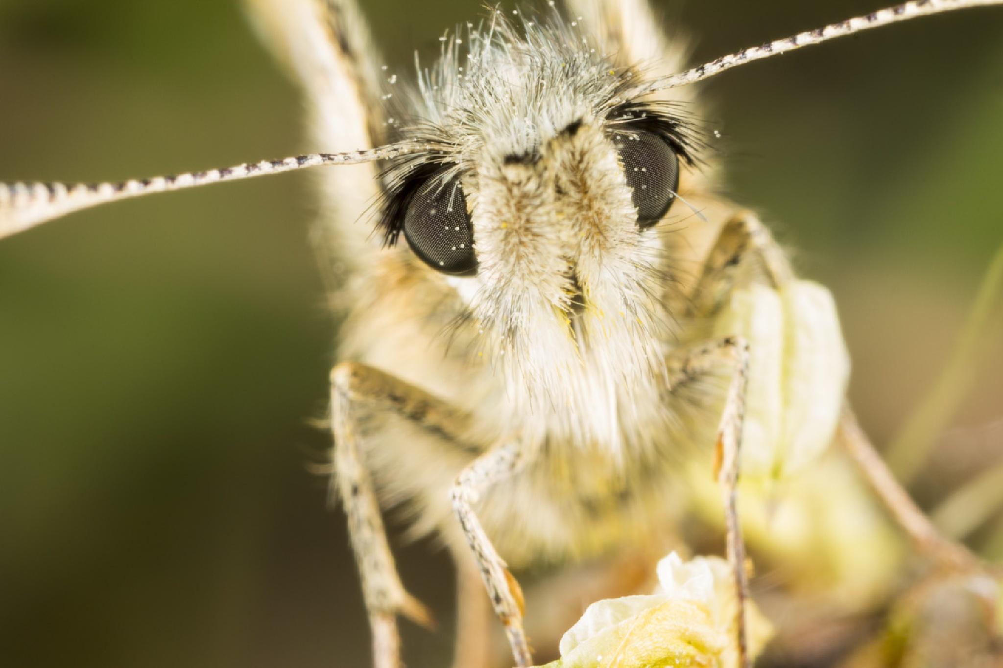 small moth face by StefanoTartarotti