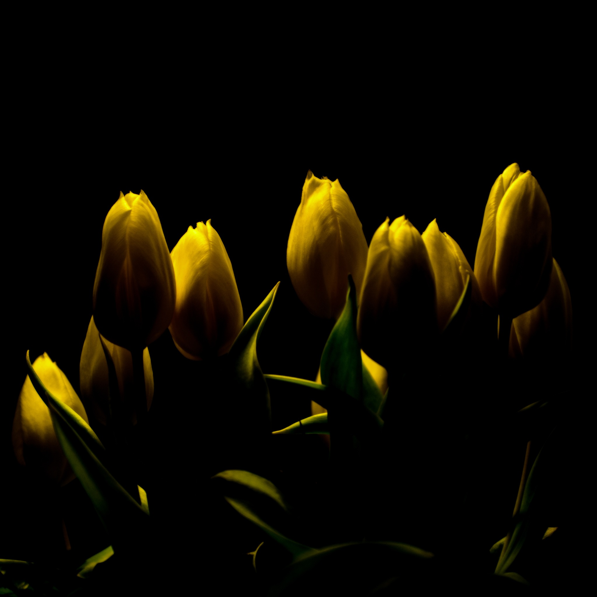 y-tulip by andreabergamo1