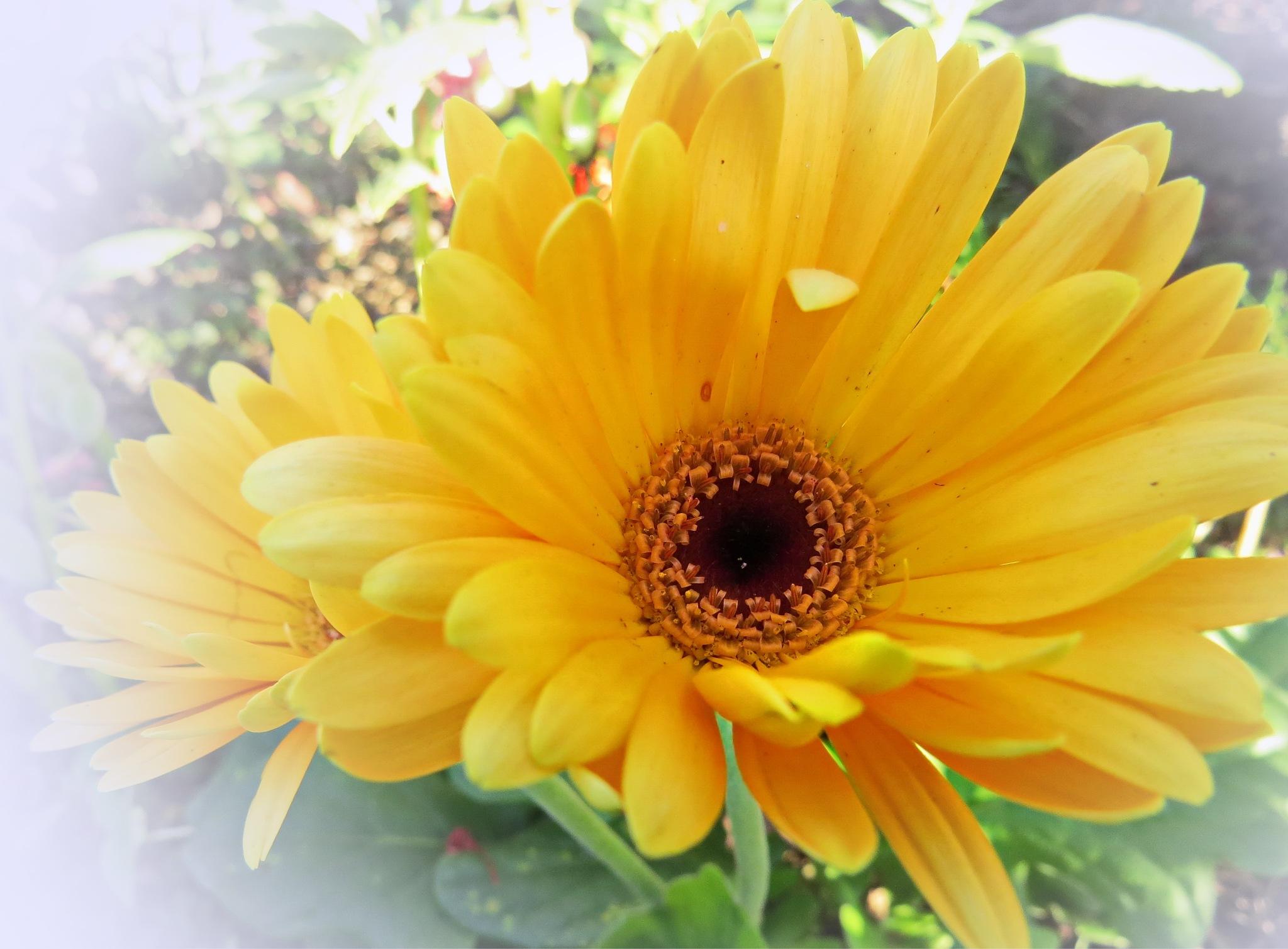 Yellow daisy by Nestor