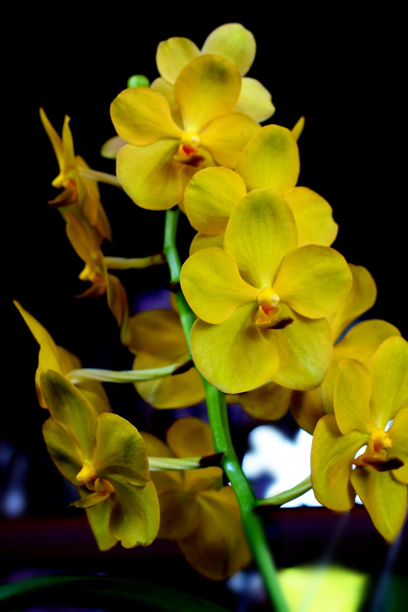 Yellow Vanda by Nestor