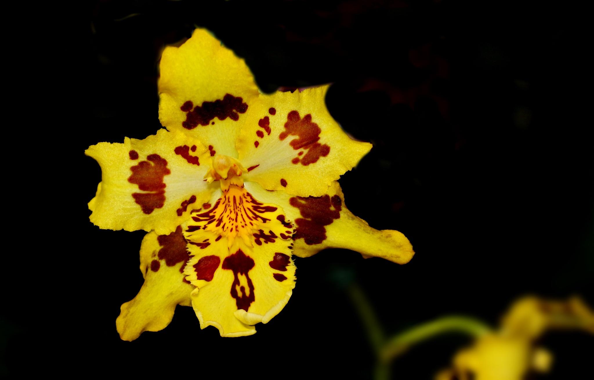 Mini orquídea. by Nestor