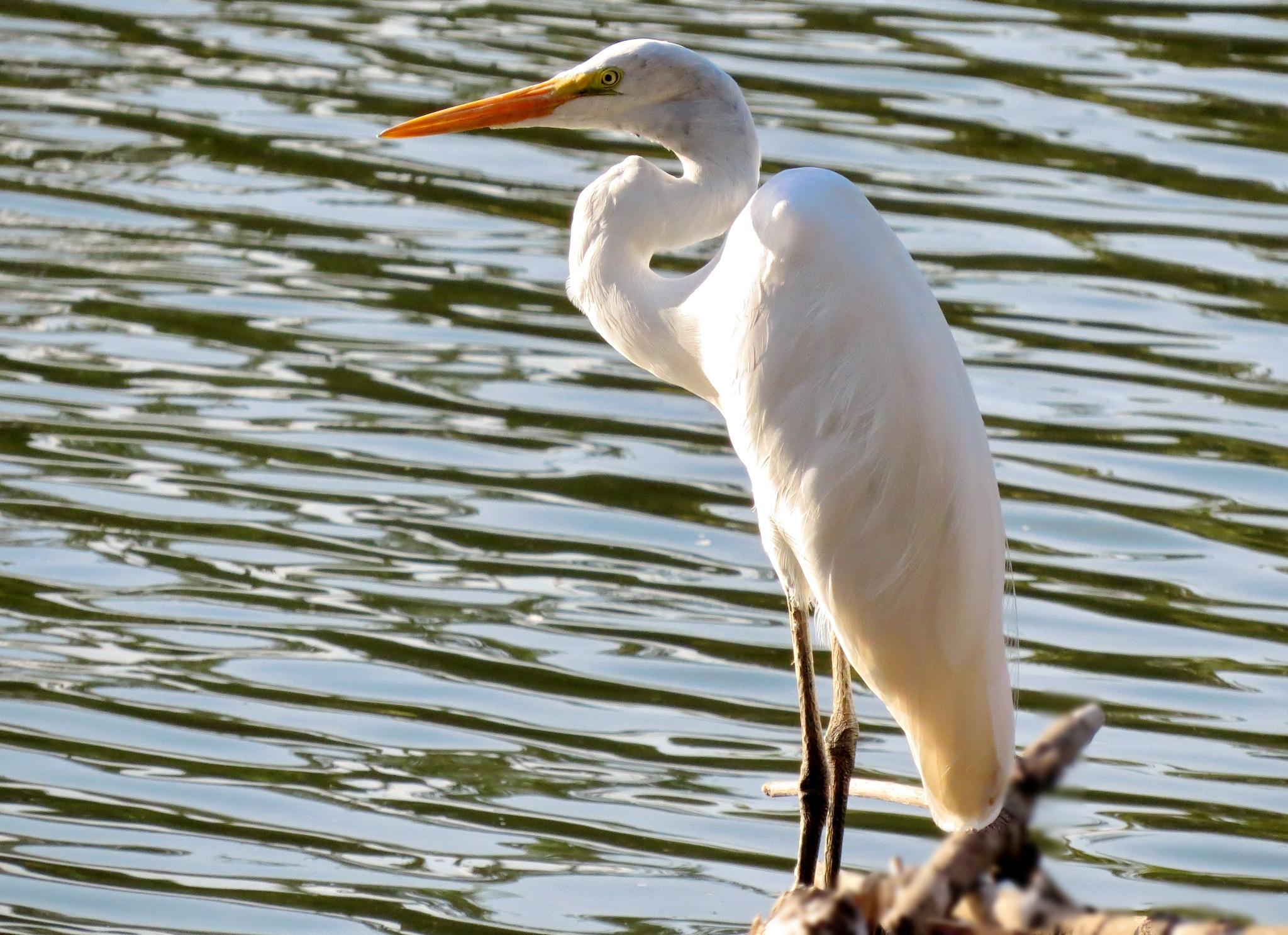 White heron by Nestor