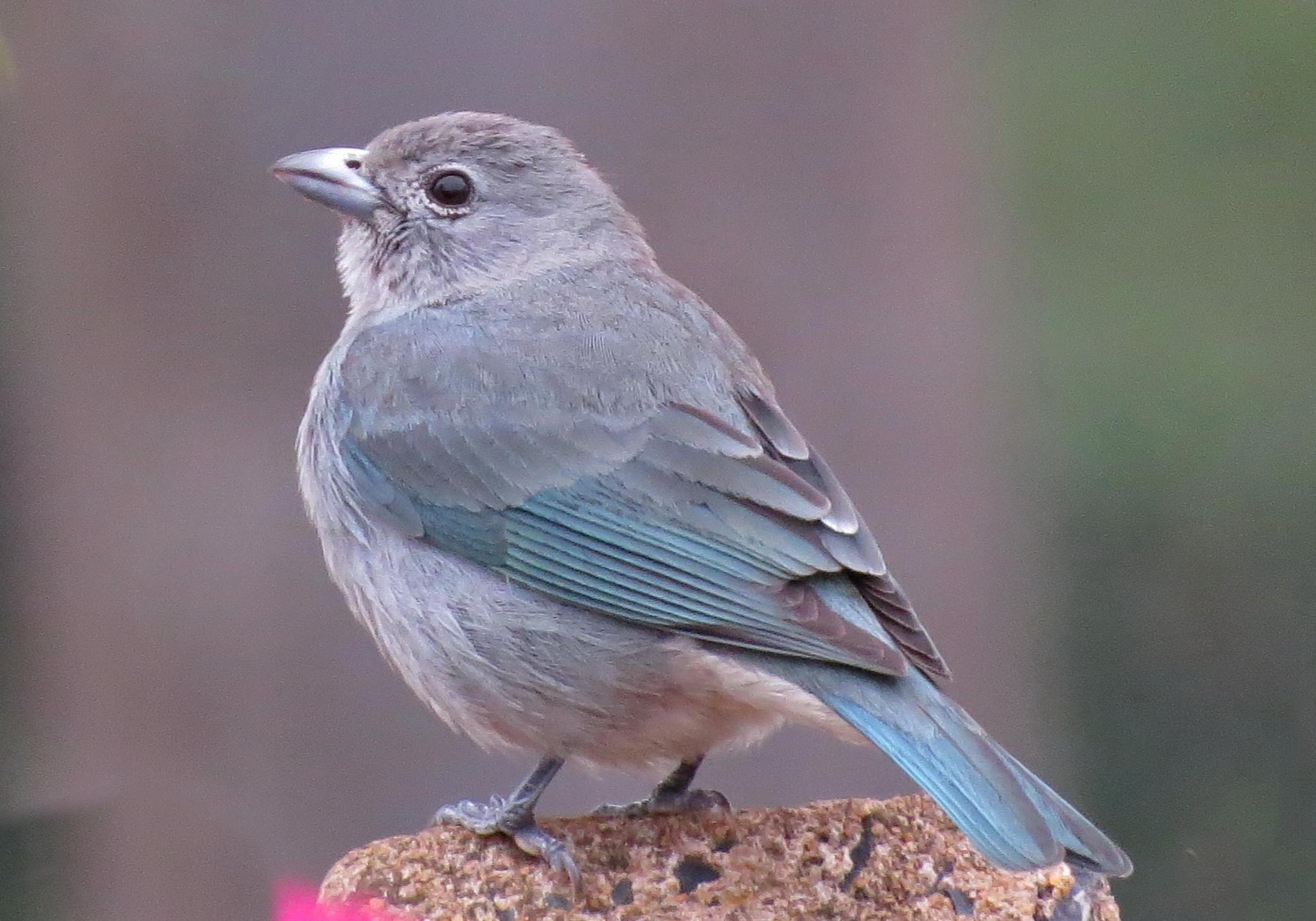 Blue bird by Nestor