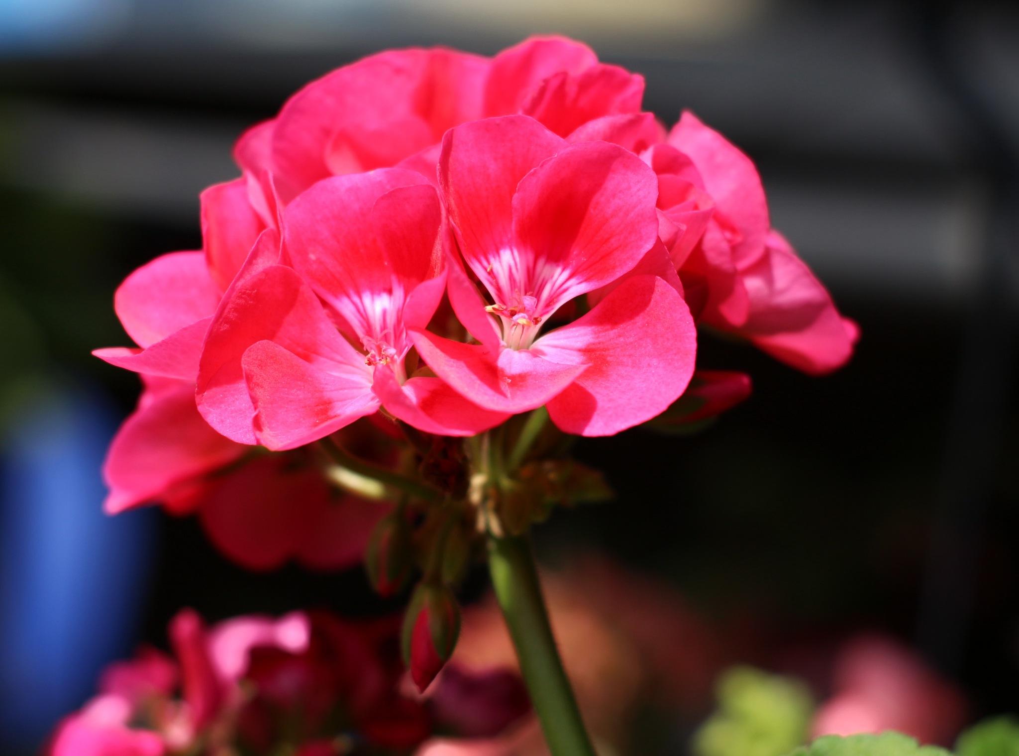 Geranium flowers. by Nestor