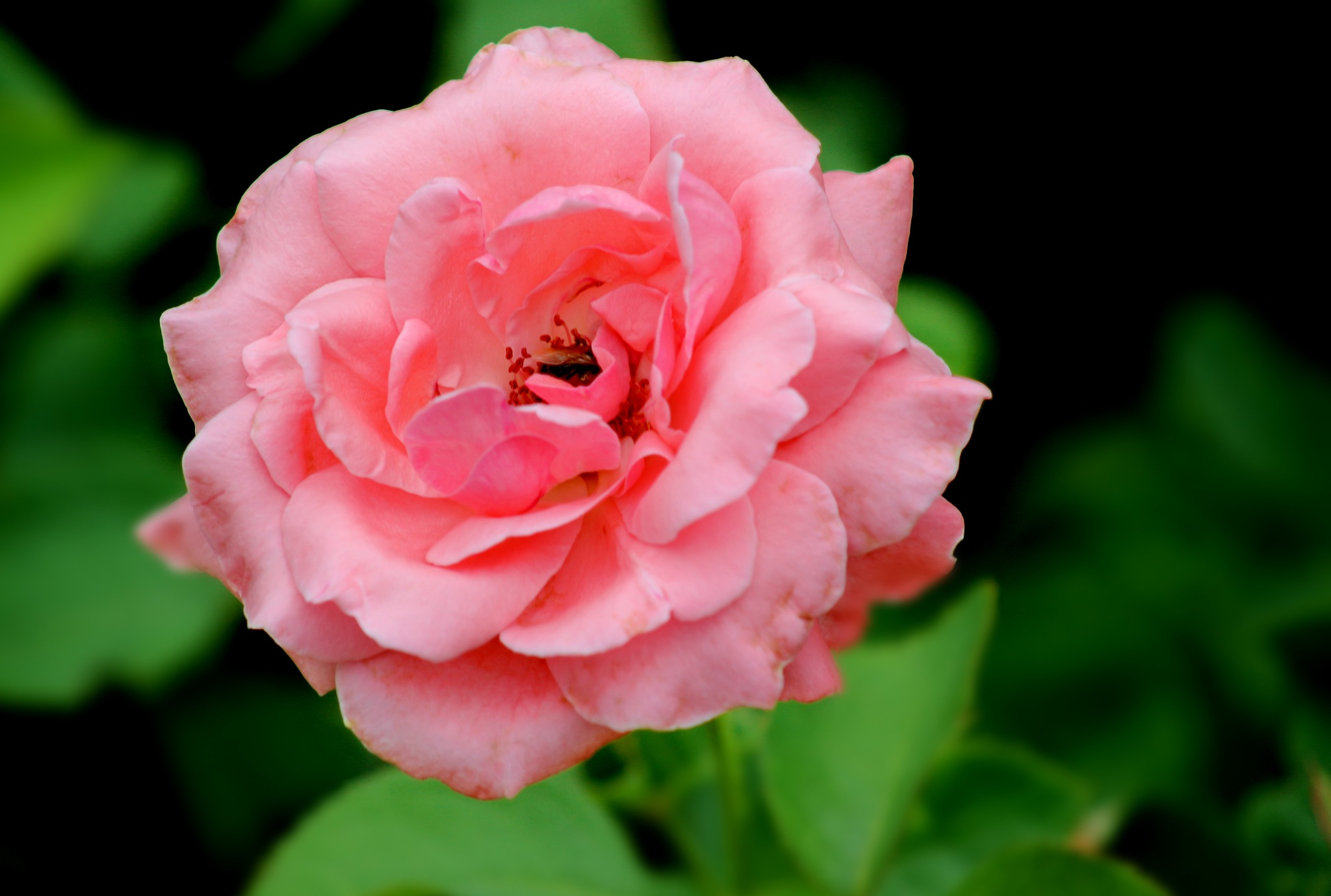 Rosa rosa... by Nestor