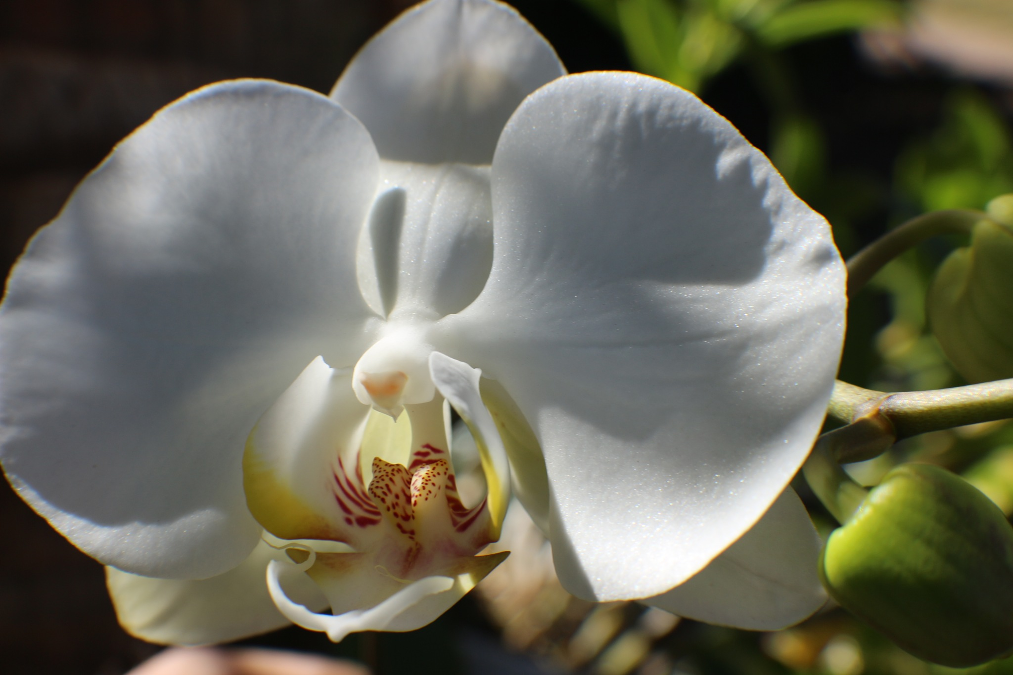 White orchid by Nestor